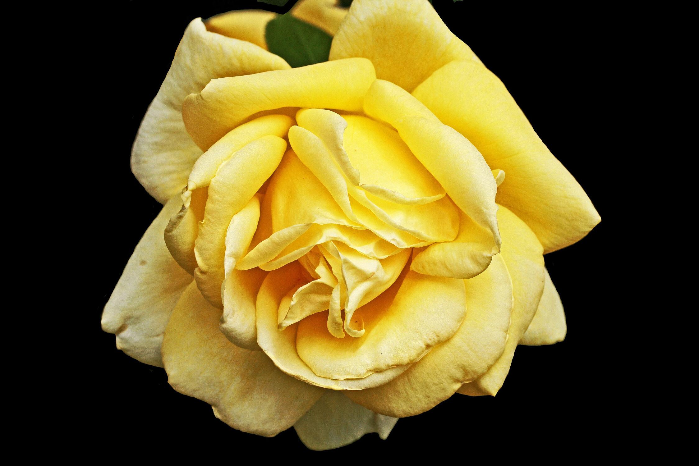 Bild mit Gelb, Pflanzen, Blumen, Rosen, Blume, Pflanze, Rose, Flower