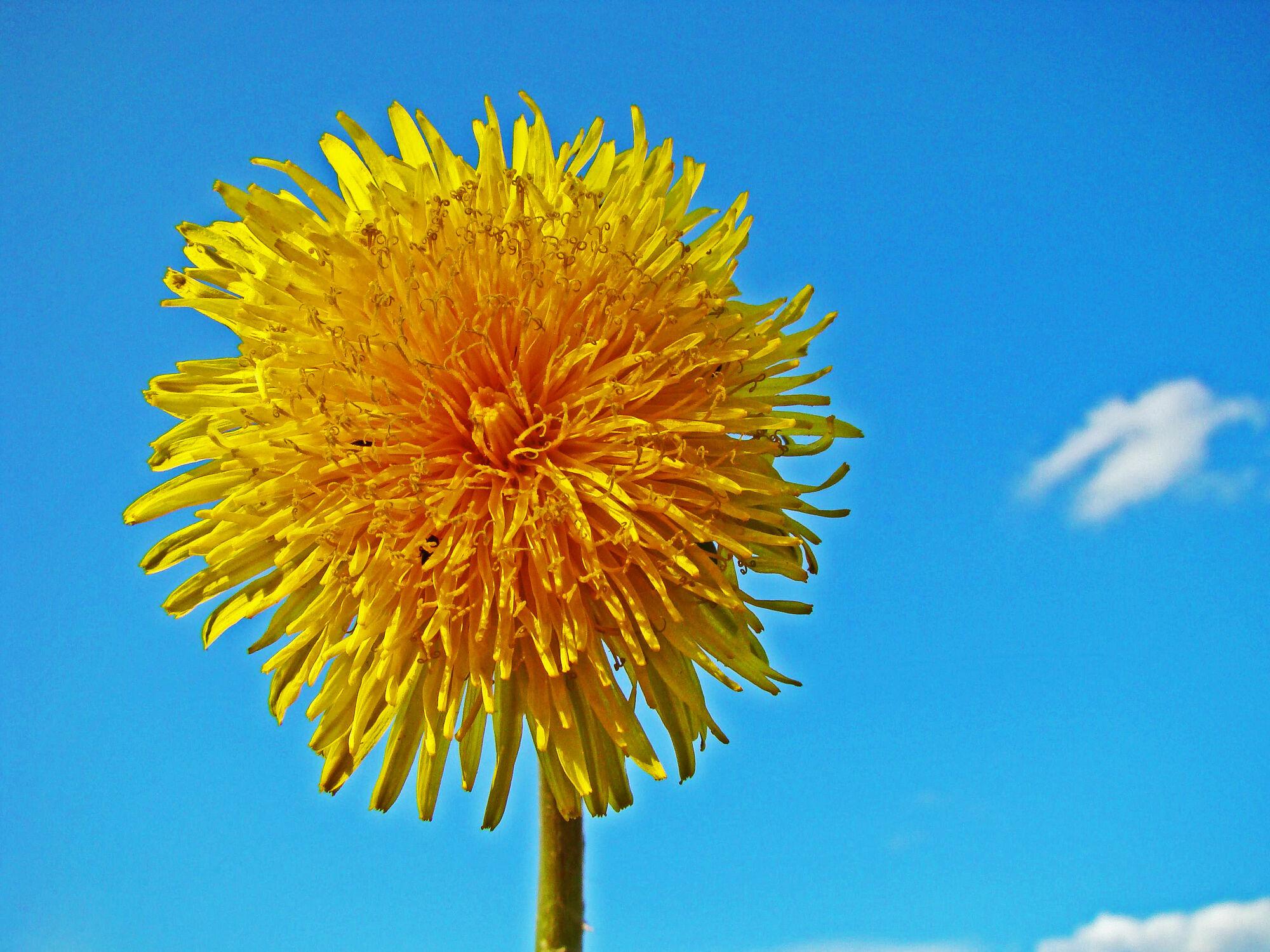 Bild mit Pflanzen, Himmel, Blumen, Blume, Pflanze, Löwenzahn, Blüten, blüte, Löwenzahnwiese