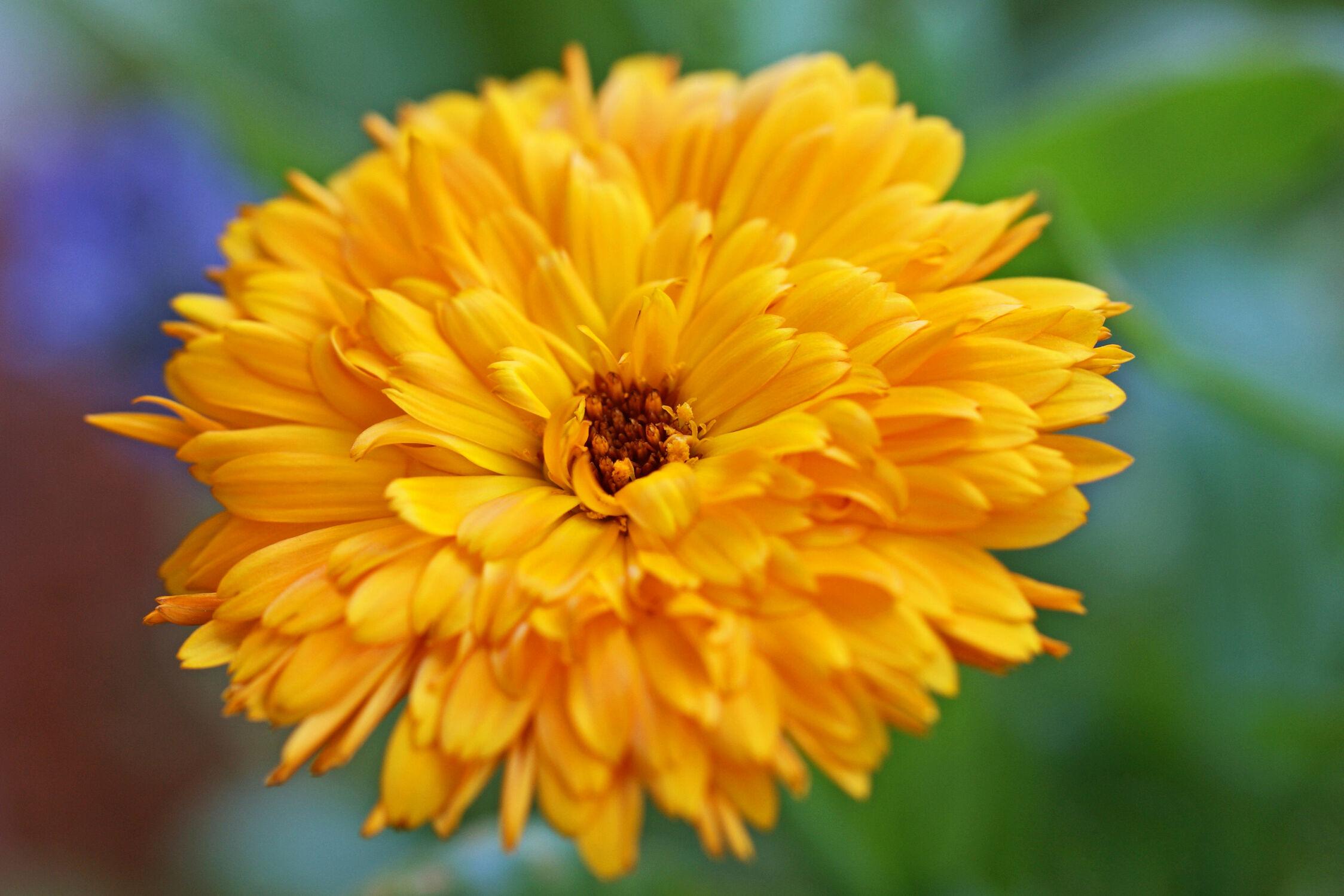 Bild mit Pflanzen, Blumen, Blume, Pflanze, ringelblume, Ringelblumen