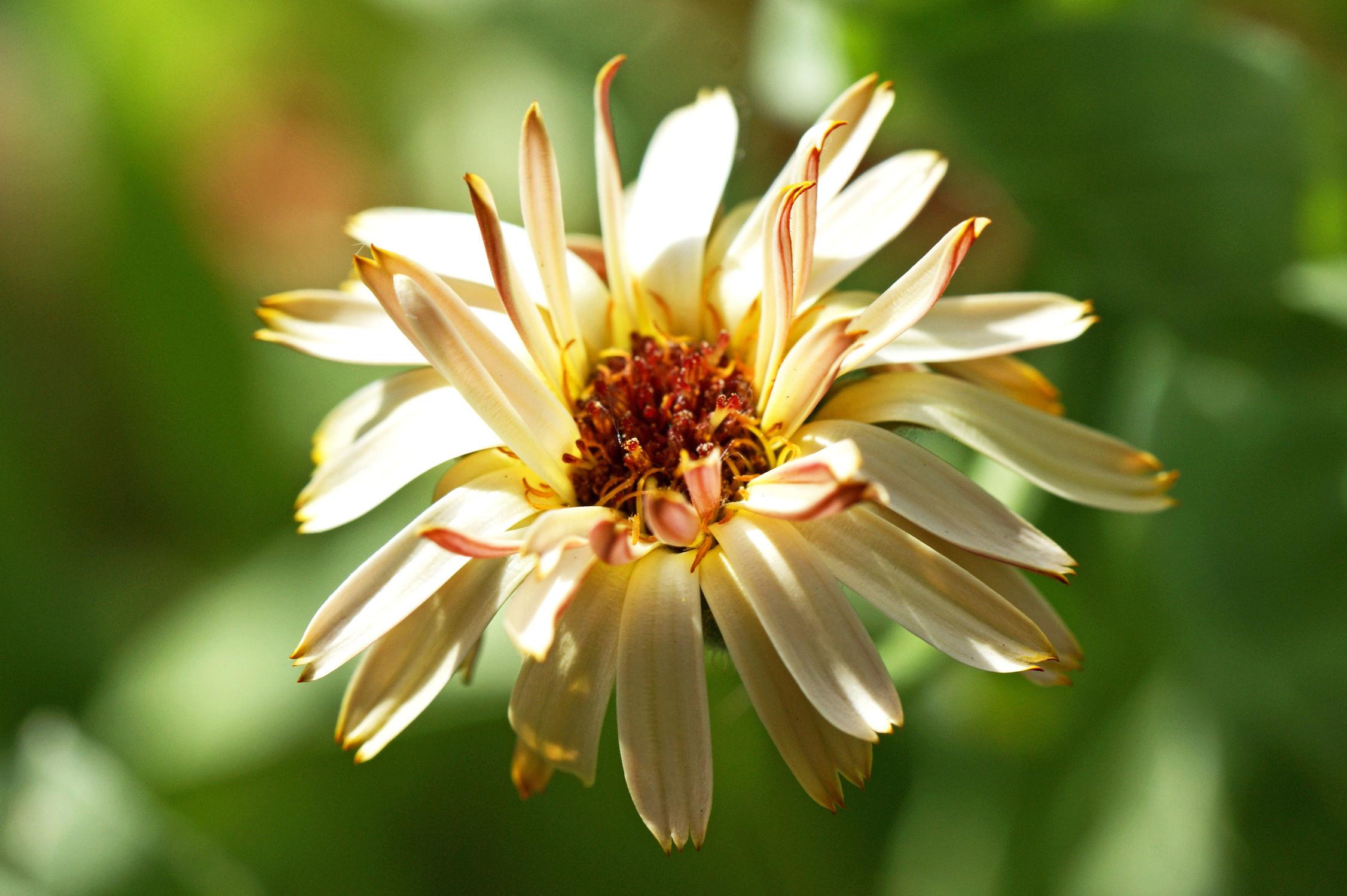 Bild mit Blumen, Blume, Makro, ringelblume, Ringelblumen