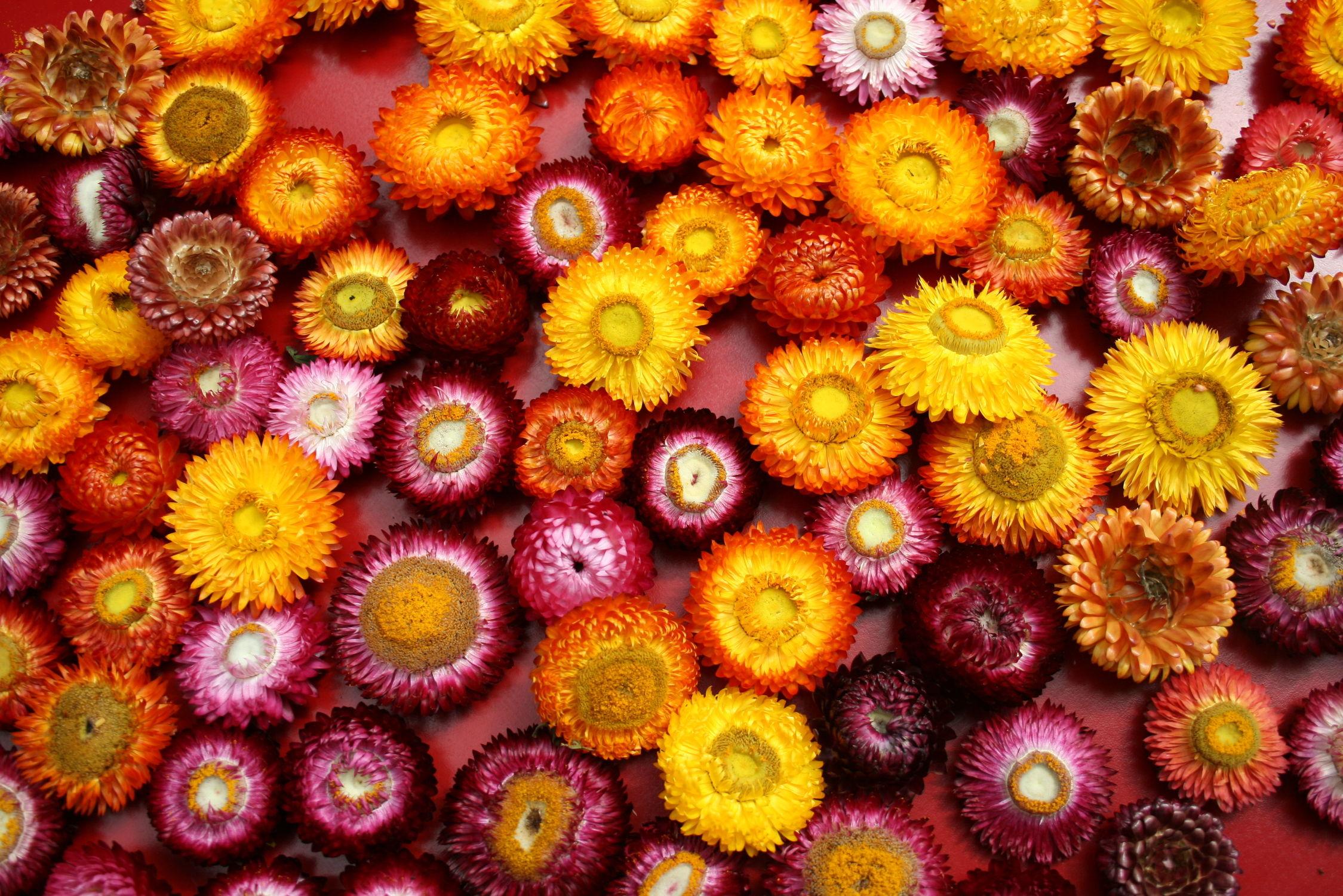 Bild mit Pflanzen, Blumen, Herbst, Blume, Pflanze, Blüten, blüte, strohblumen