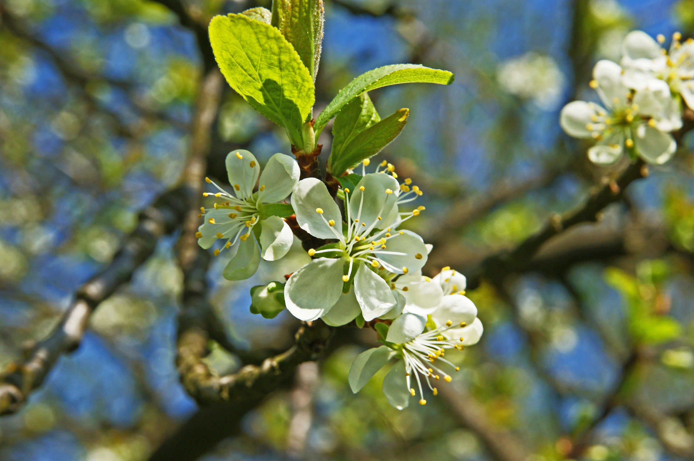 Bild mit Himmel, Bäume, Baum, obstblüten, Blüten, blüte, nahaufnahme, nahaufnahmen