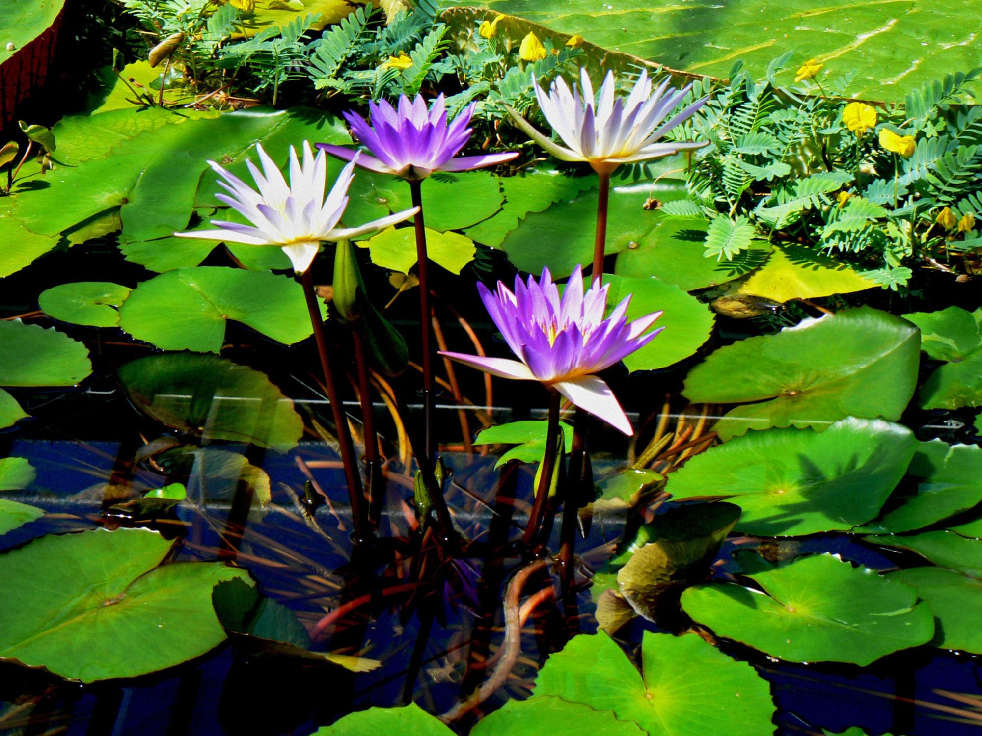 Bild mit Wasser, Seen, See, Teich, Seerosen, lotus, Blüten, blüte, Seerose, nahaufnahmen