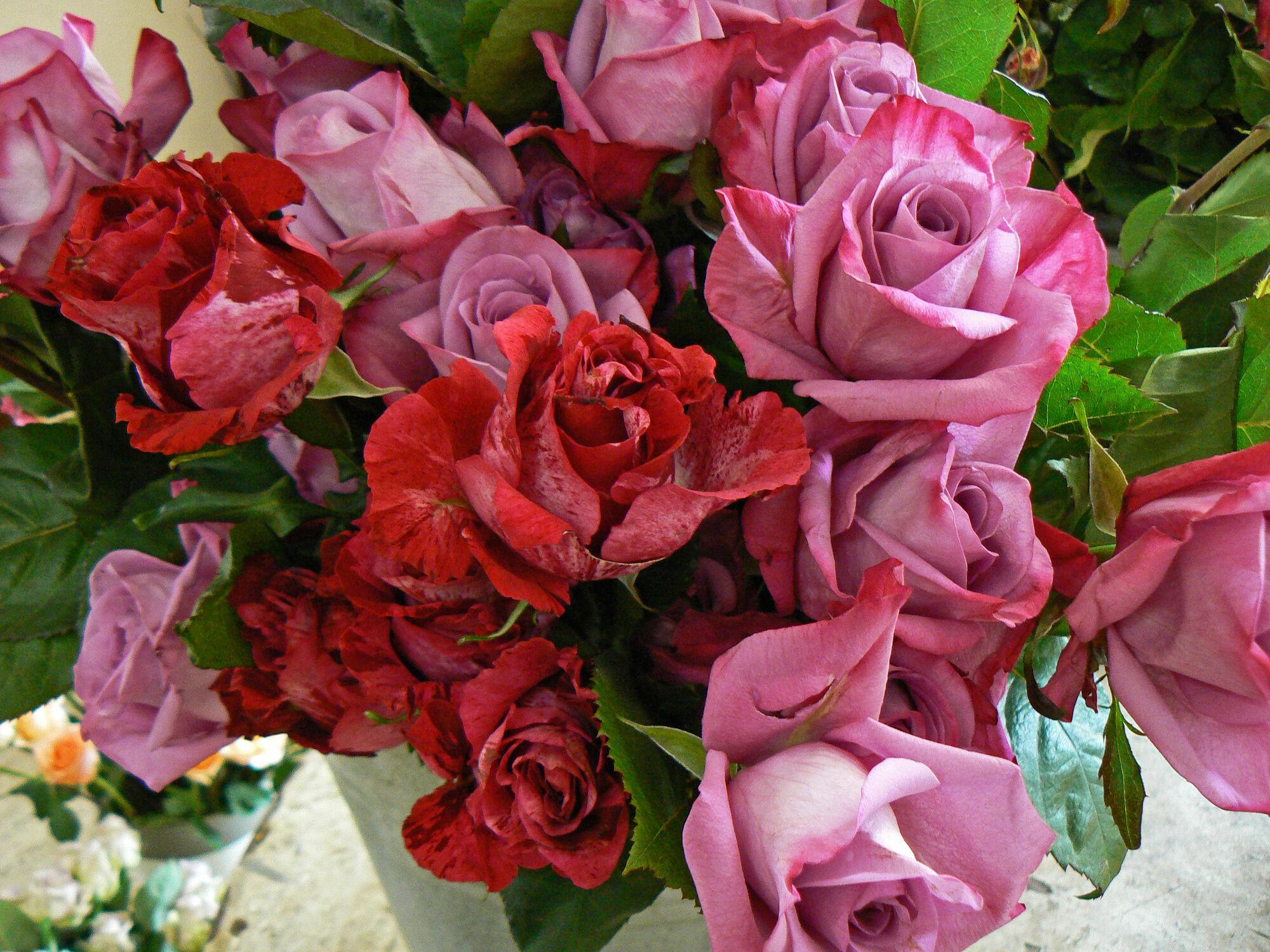 Bild mit Pflanzen, Rosen, Pflanze, Rose, romantik, Blüten, blüte, Liebe, Love