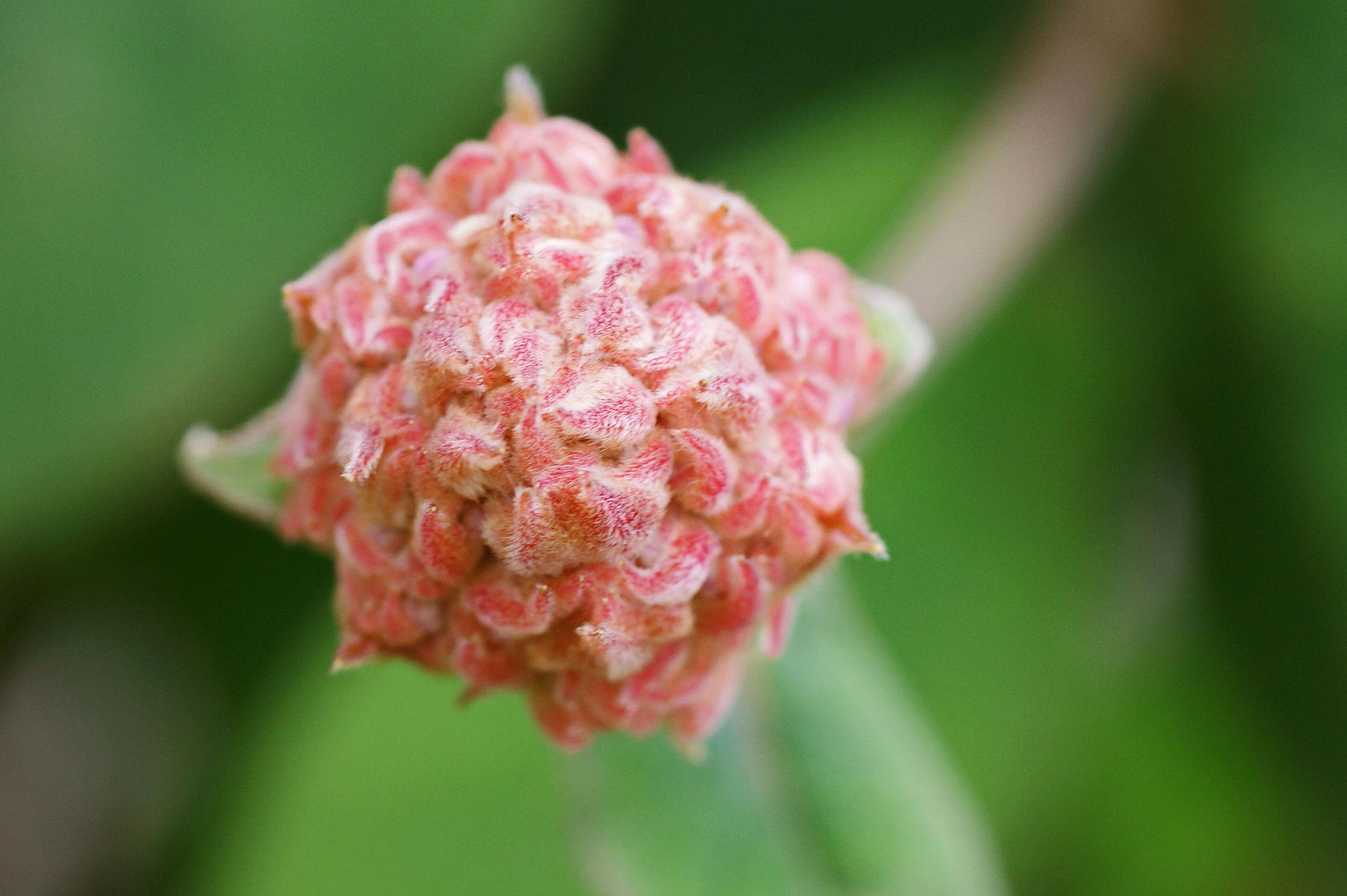 Bild mit Pflanzen, Blumen, Frühling, Blume, Pflanze, hortensien, Blüten, blüte, Hortensie, Knospe, Knospen