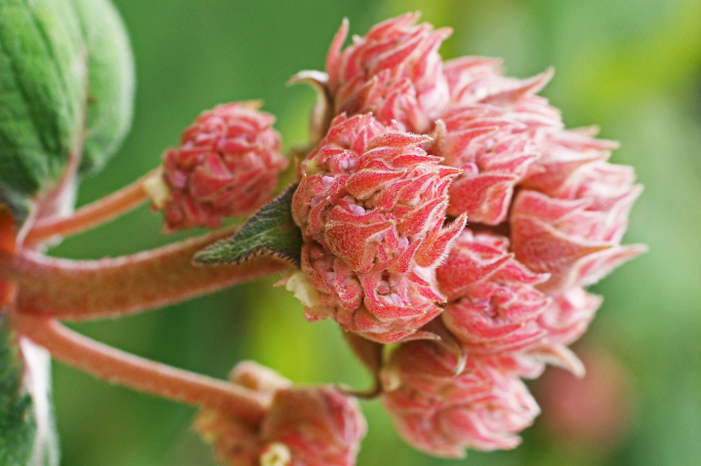 Bild mit Blumen, Blume, hortensien, Blüten, blüte, Hortensie, Knospe, Knospen