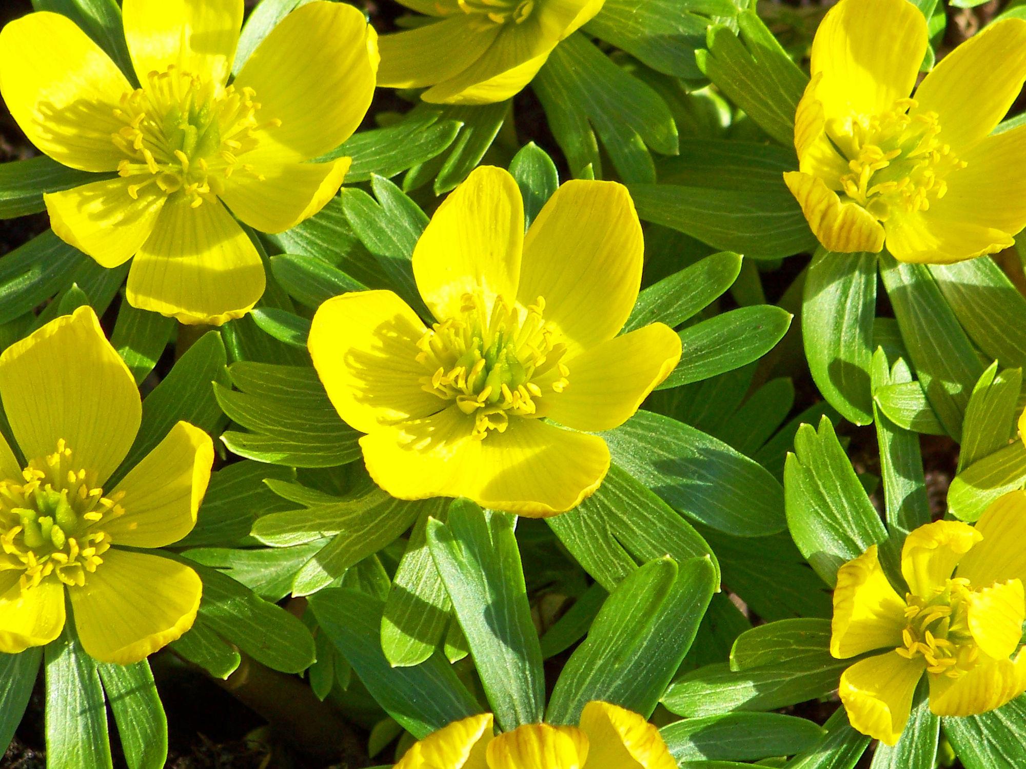 Bild mit Gelb, Natur, Pflanzen, Blumen, Frühling, Blume, Pflanze, frühlingsblumen, Blüten, blüte, frühjahr