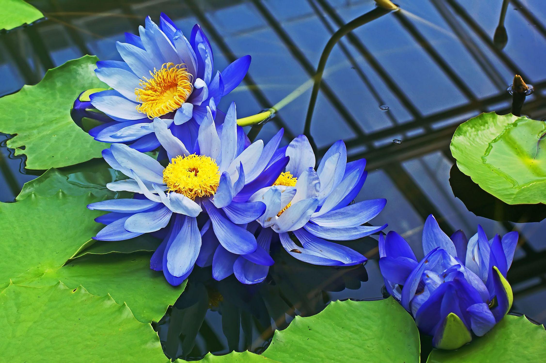 Bild mit Wasser, Blau, Seerosen, lotus, Blüten, blüte, Seerose, nahaufnahmen