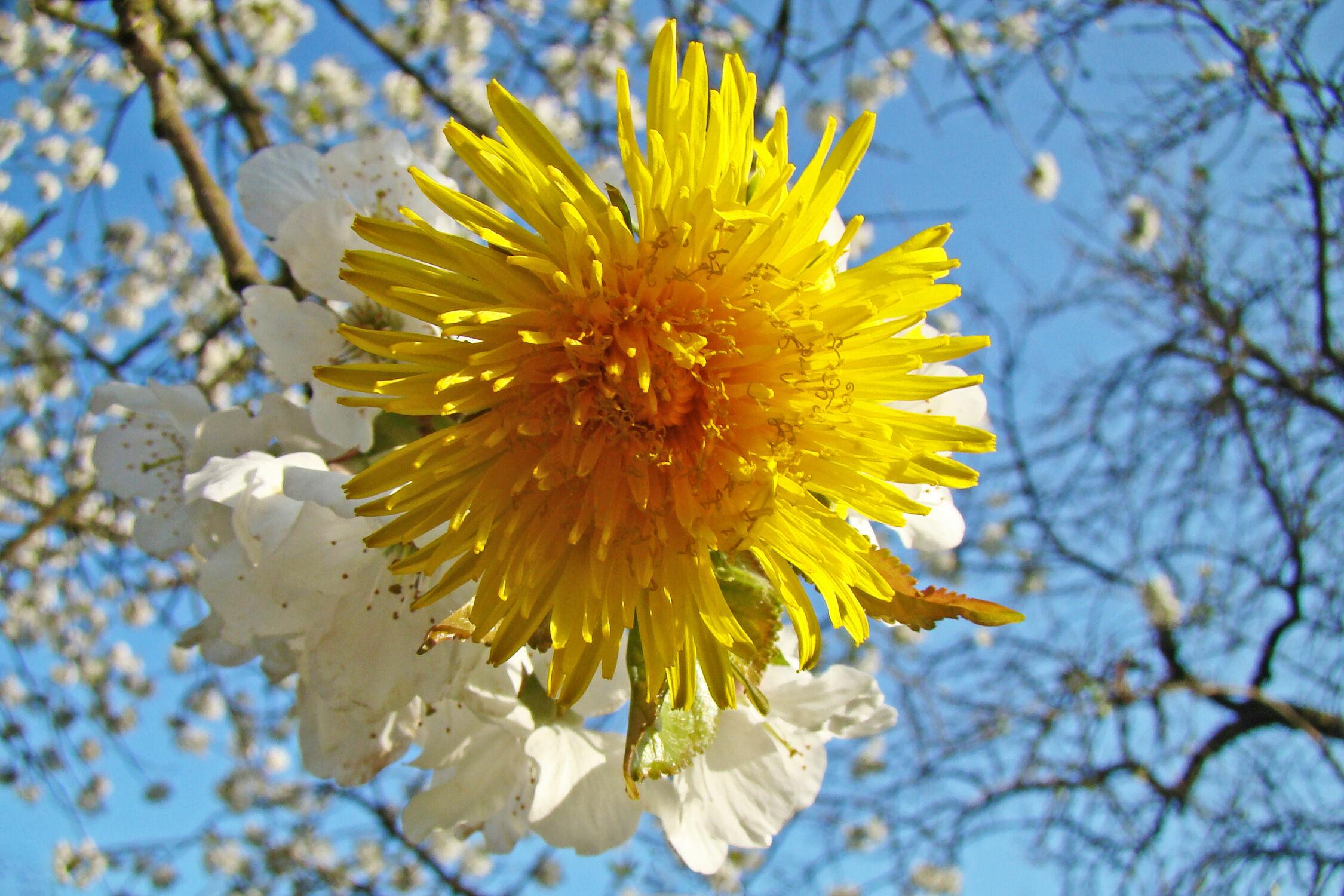 Bild mit Himmel, Blumen, Blume, Löwenzahn, blühender Kirschbaum, Kirschblüten, Blüten, blüte, Kirschblüte