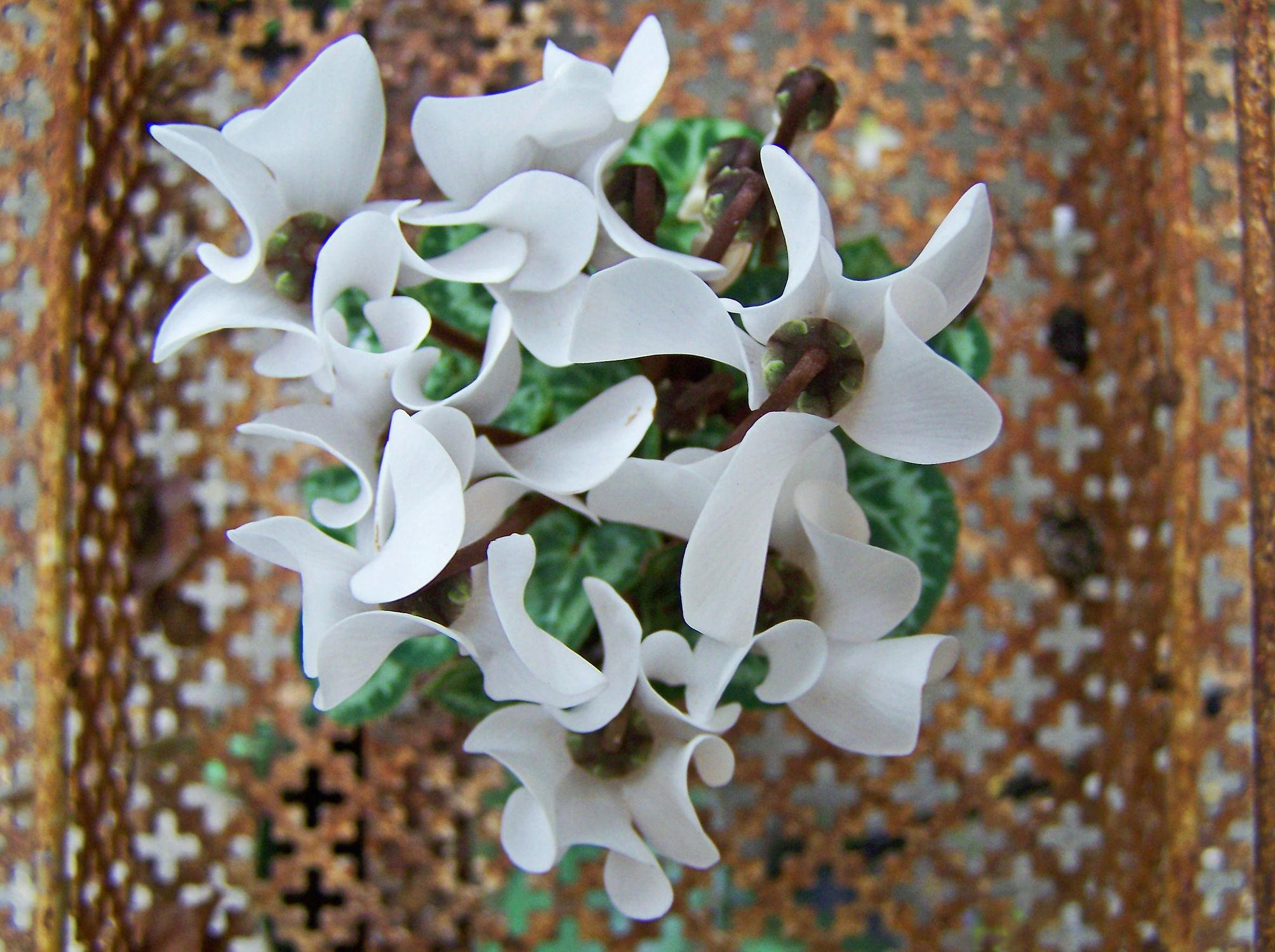 Bild mit Pflanzen, Blumen, Blume, Pflanze, alpenveilchen, veilchen, Blüten, blüte