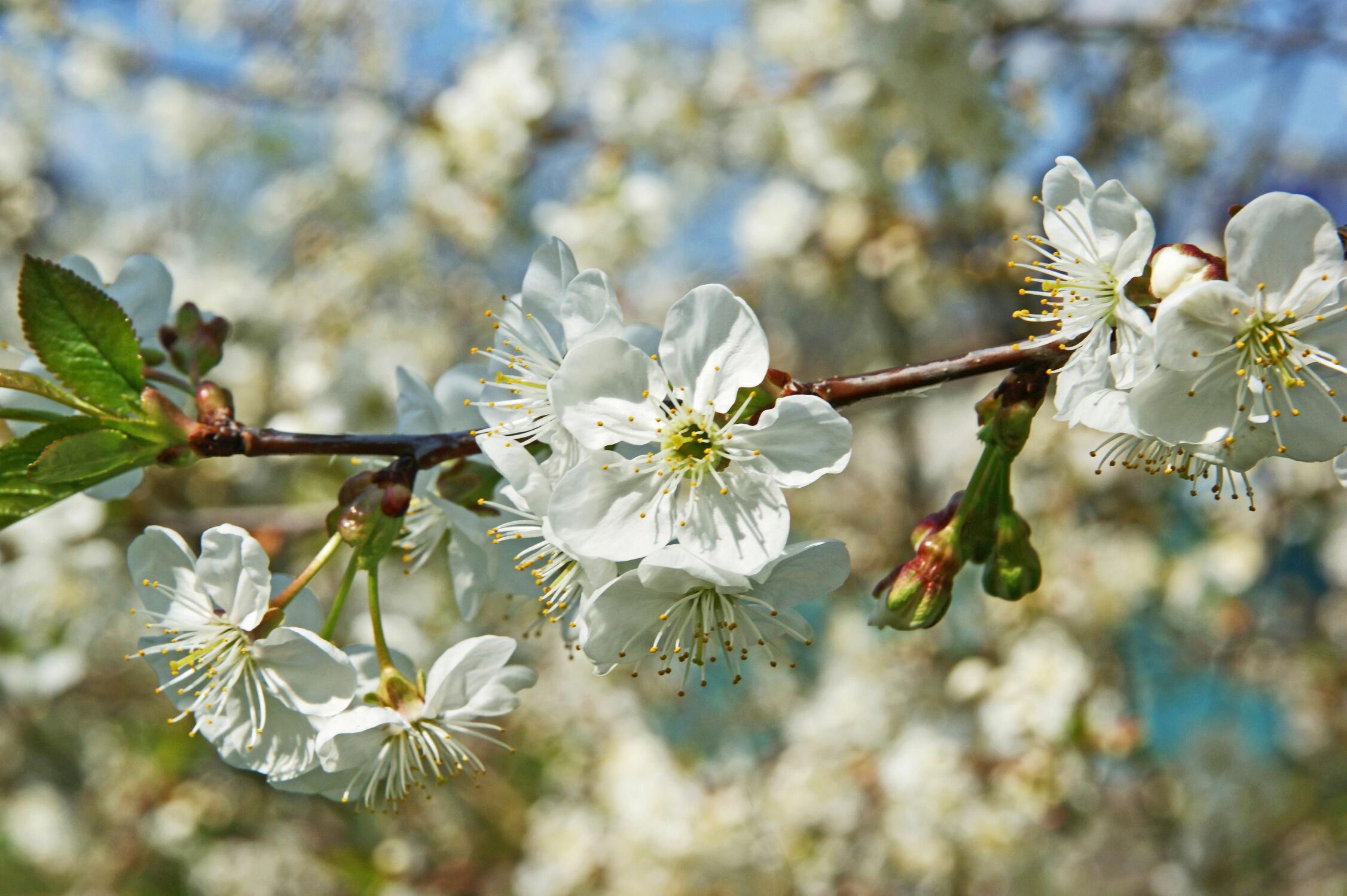 Bild mit Blumen, Blume, Kirschblüten, obstblüten, Blüten, blüte, Kirschblüte