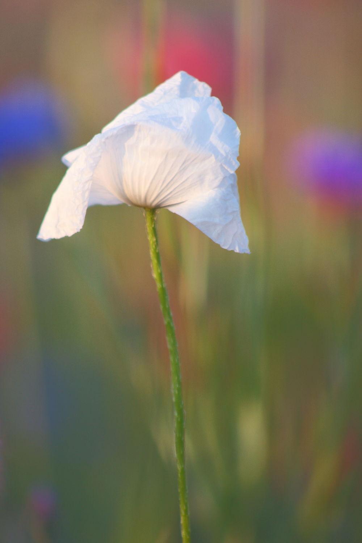 Bild mit Pflanzen, Blumen, Mohn, Blume, Mohnblume, Mohnblumen