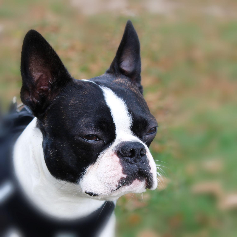 Bild mit Tiere, Hunde, Tier, Hund, Dog, Lebewesen, Boston Terrier, Bosti, Boston Terriers, Rassehunden, Hunderasse Boston, Kleine doggenartige Hunde, Familienhund, Hundebild, Haushund
