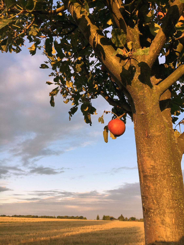 Bild mit Baum, Apfelbaum, Obstbaum, Apfel, Apple, Apfelbaum in der Dämmerung