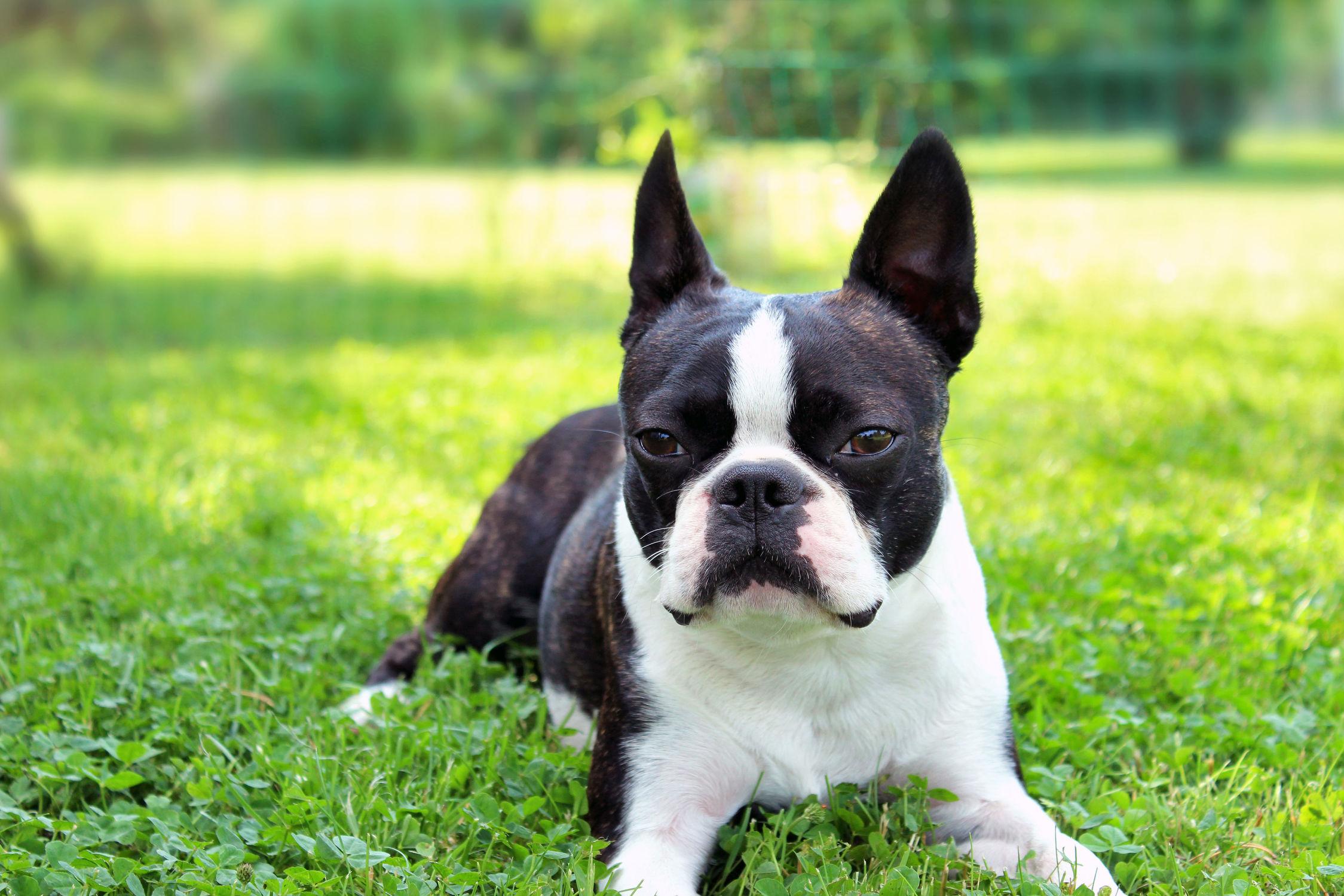 Bild mit Hunde, Tier, Hund, Dog, Bulldogge, Boston Terrier, Bosti, Kleine doggenartige Hunde, Familienhund, Hundebild, Haustier