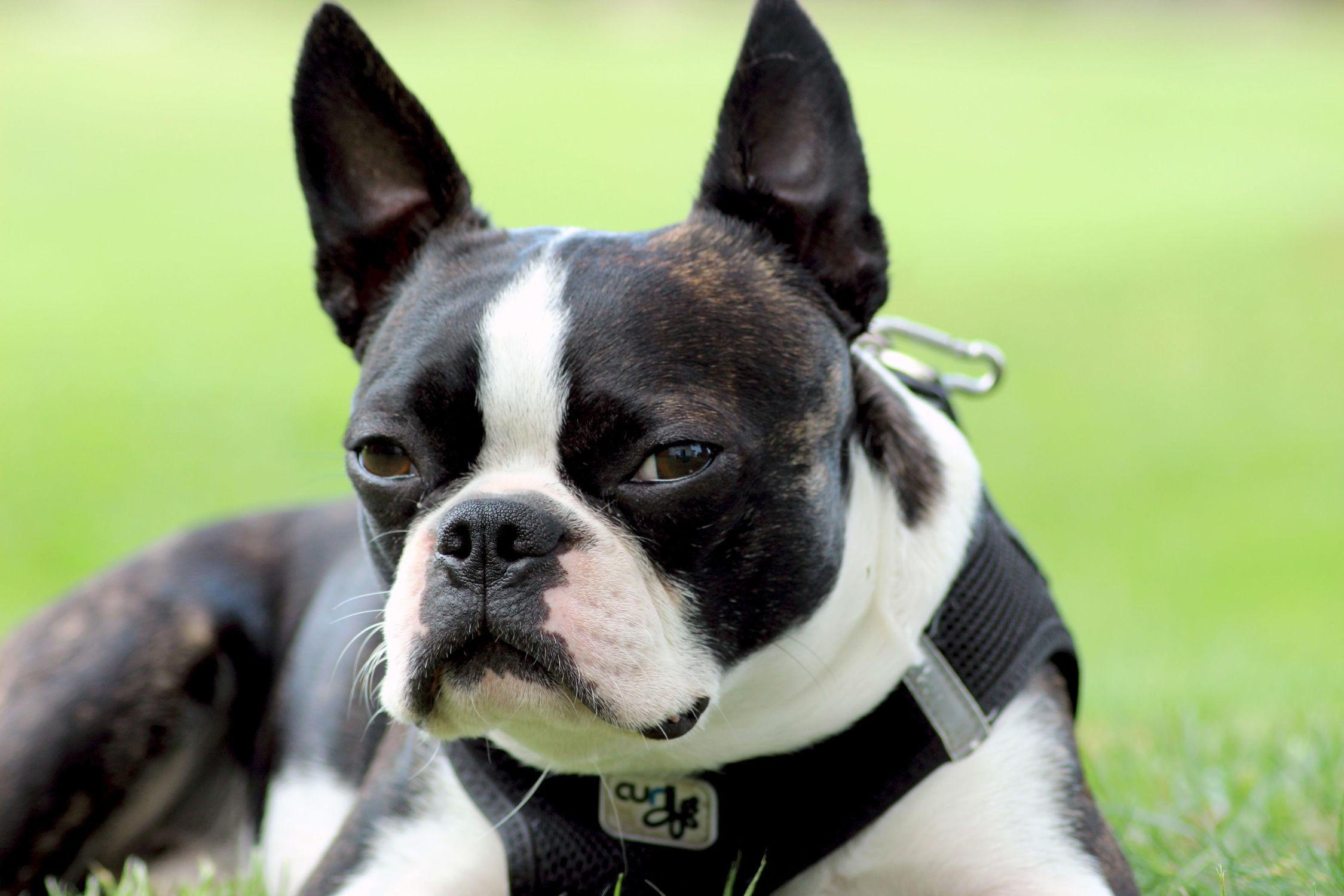 Bild mit Hunde, Hunde, Tier, Dog, Bulldogge, Boston Terrier, Bosti, Kleine doggenartige Hunde, Familienhund, Hundebild, Haustier