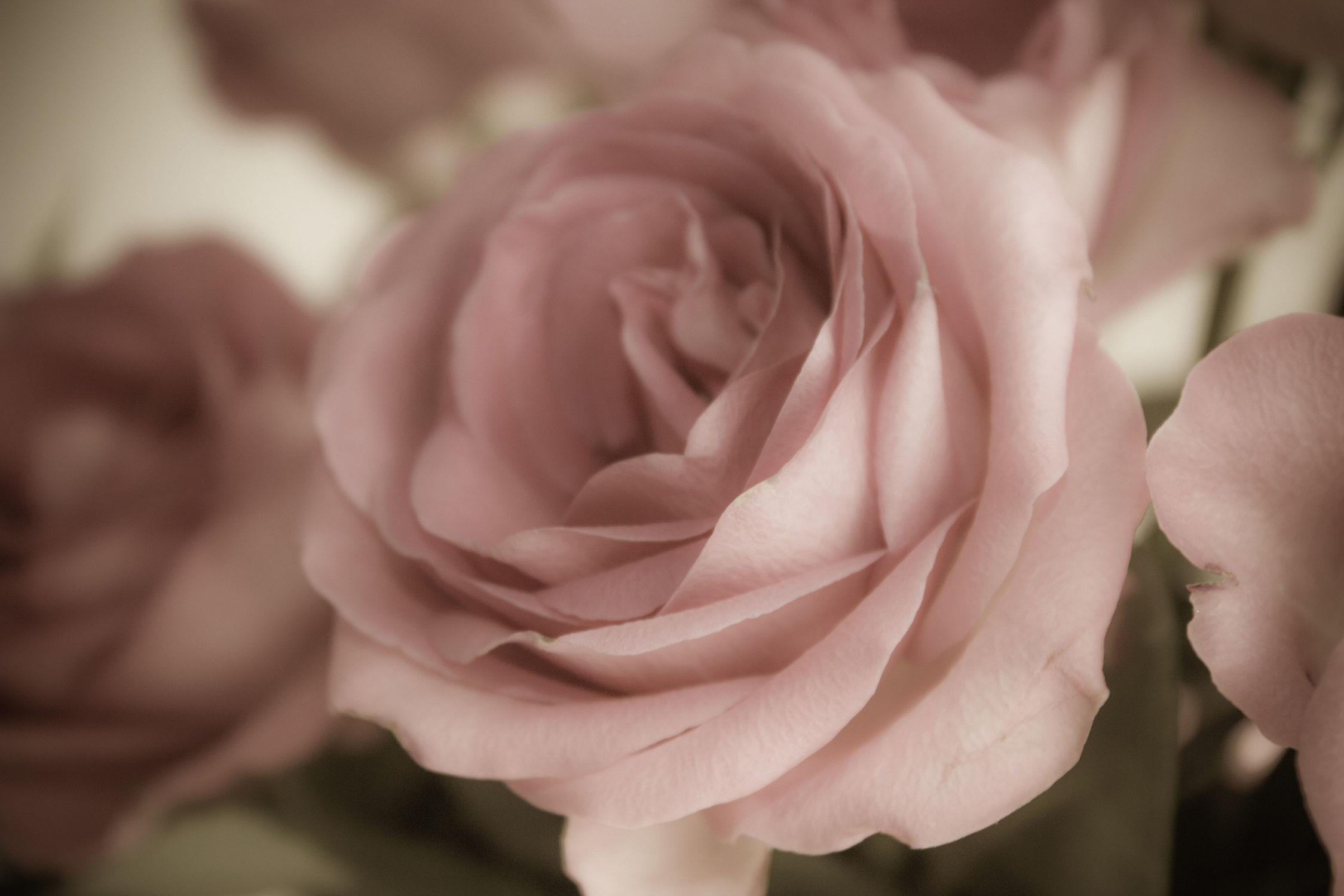 Bild mit Pflanzen, Blumen, Rosen, Sommer, Blume, Pflanze, Rose, Blüten, blüte, Hochzeit