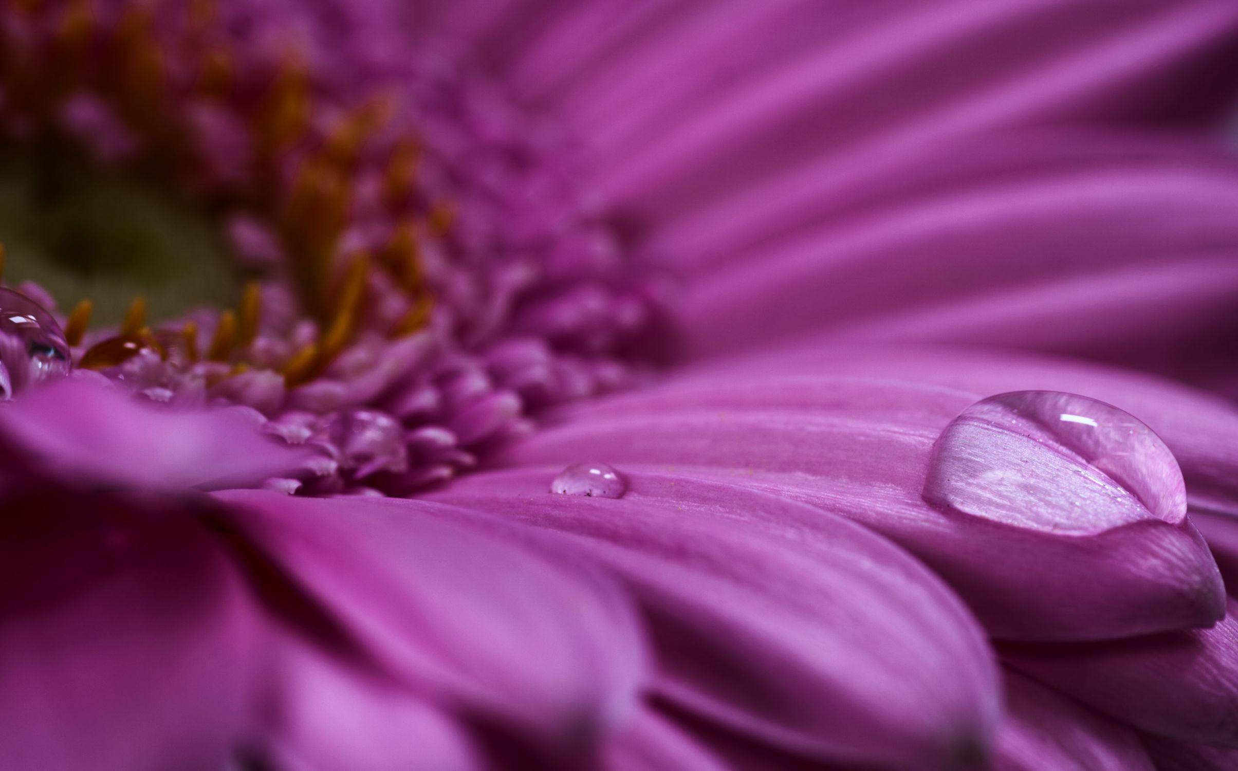 Bild mit Natur, Wasser, Pflanzen, Pflanzen, Blumen, Gerberas, Blume, Gerbera, Tropfen, Blüten, blüte