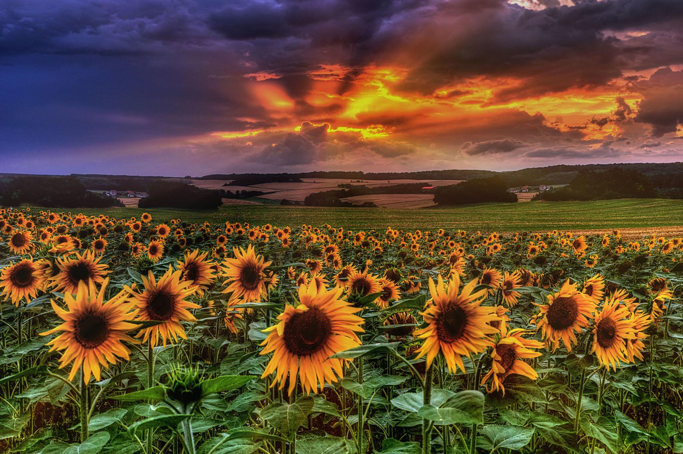 Bild mit Natur, Blumen, Sonnenuntergang, Sonnenaufgang, Sonnenblumen, Blume, Pflanze, Wiese, Sonnenblume, Feld, Felder, Wiesen, Weide, Weiden