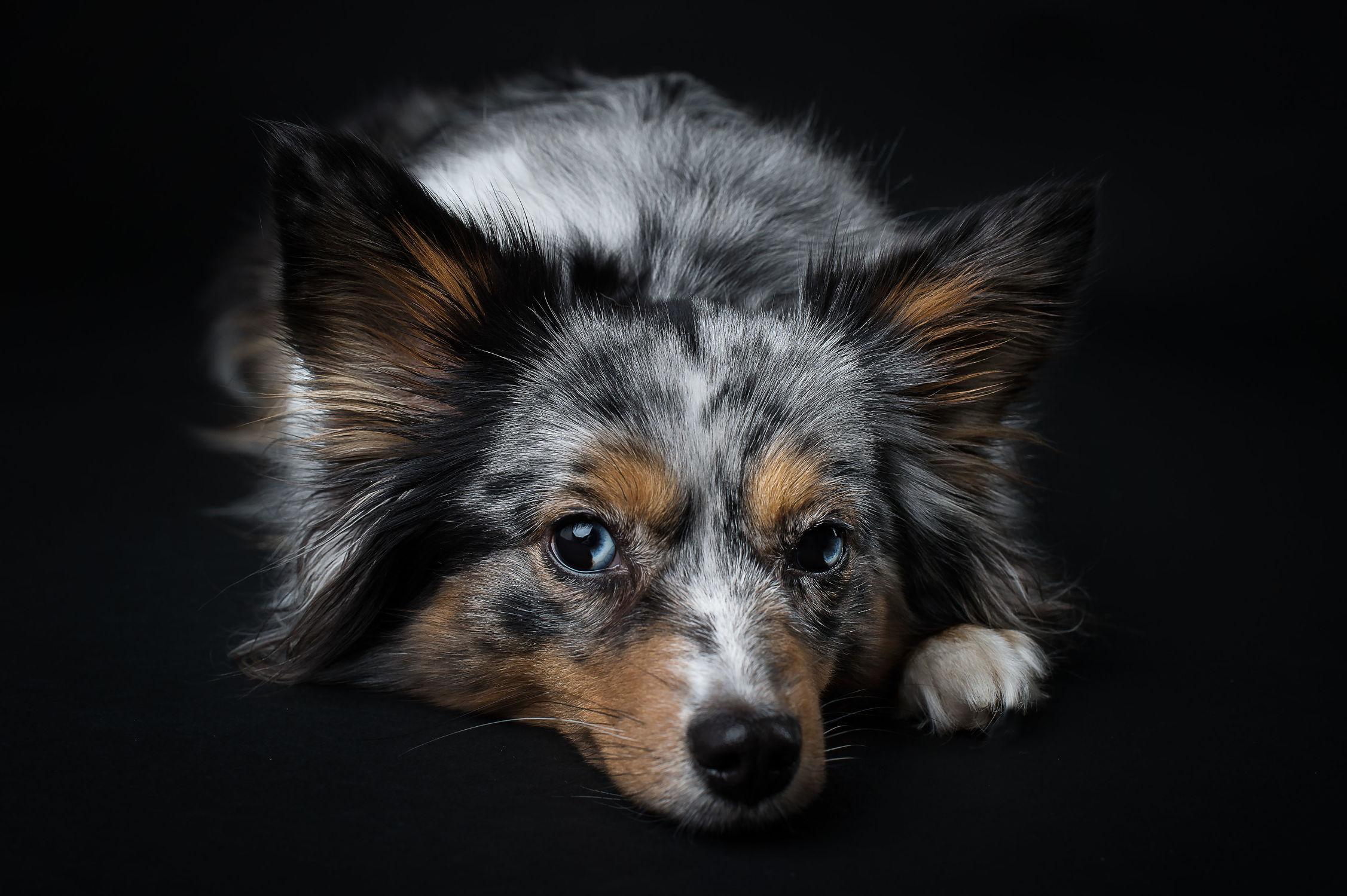 Bild mit Tiere, Tiere, Haustiere, Hunde, Hunde, Tier, Tier, Hund, Hund, Hundebild, Tierwelt, Hundebabys, Haustier, aussie, Miniature American Shepherd