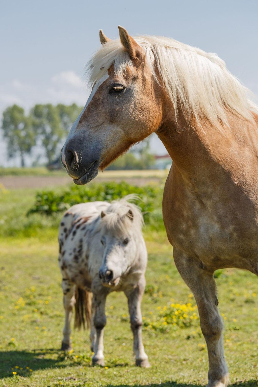 Bild mit Tiere, Tiere, Pferde, Pferde, Tier, Tier, Kinderbild, Kinderbilder, Pferd, Pferd, Hengst, reiten, Stute, Mustang, pony, Hafflinger, Pferdeliebe, pferdebilder, pferdebild