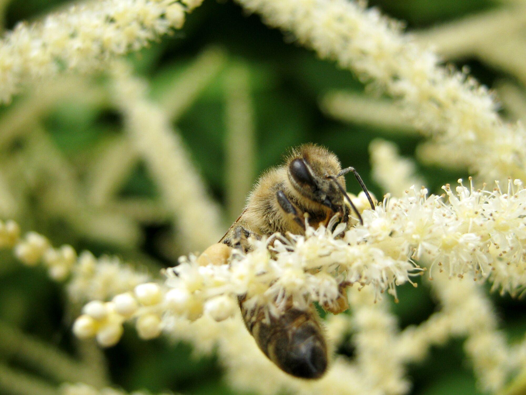 Bild mit Tiere, Tiere, Blumen, Insekten, Bienen, Tier, Blume, Fotografien, Biene, Honig, Insekt