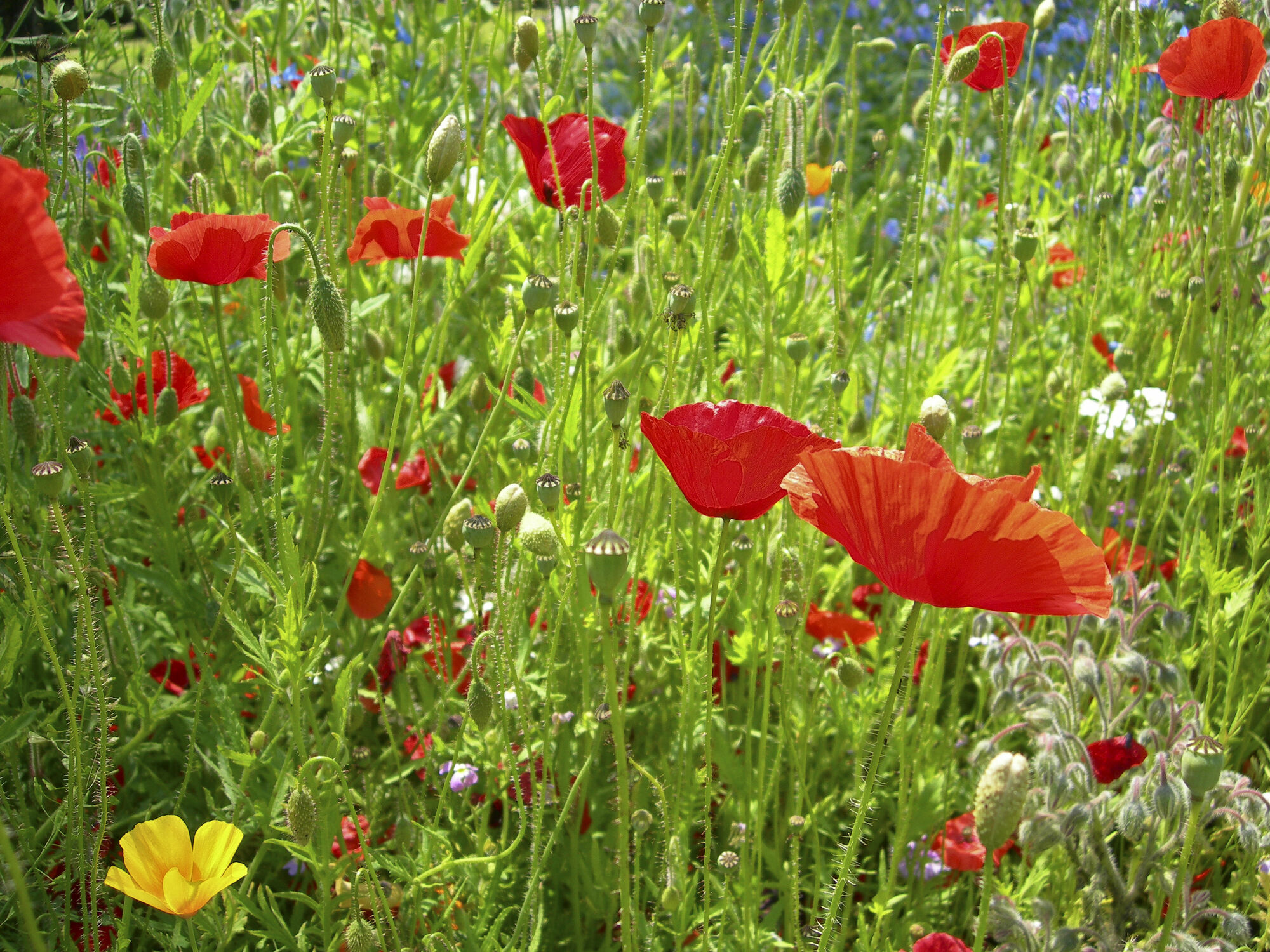 Bild mit Blumen, Mohn, Blume, Mohnblume, Mohnblumen, Bäume & Wiesen