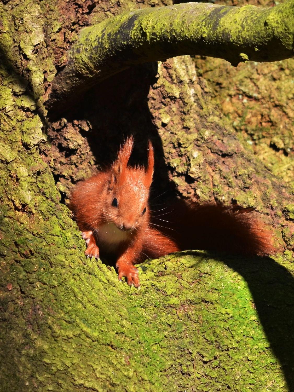 Bild mit Säugetiere, Grün, Wälder, Sonne, Wald, Baumstamm, Licht, Eichhörnchen, Sonnenstrahlen, Wildlife, Ast, Moos, Winterbau, Unterschlupf, Bauschutz, Baueingang, Rute