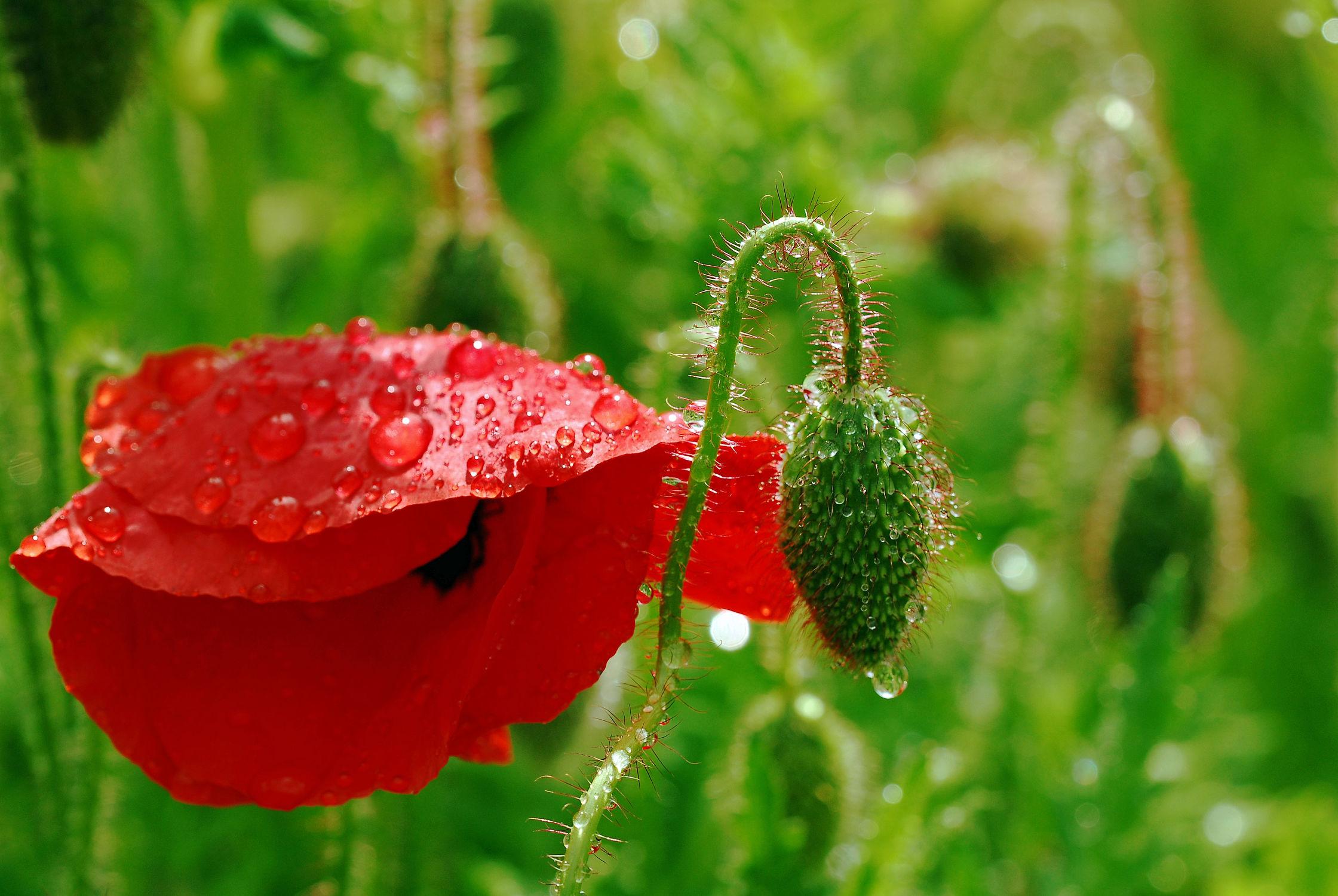 Bild mit Grün, Pflanzen, Blumen, Blumen, Rot, Mohn, Sonne, Mohnfeld, Makro, Mohnblüte, Wassertropfen, Regentropfen, Felder, garten, Wiesen, Sonnenlicht, Tautropfen, Bauerngärten, Dolde, Knospe, Blütenkopf