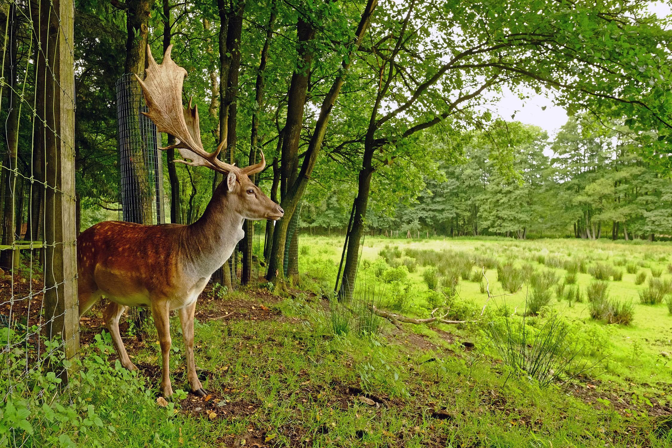 Bild mit Säugetiere, Säugetiere, Säugetiere, Damhirsch, Damhirsch, Gehege, Gehege, Mischwäldern, Mischwäldern