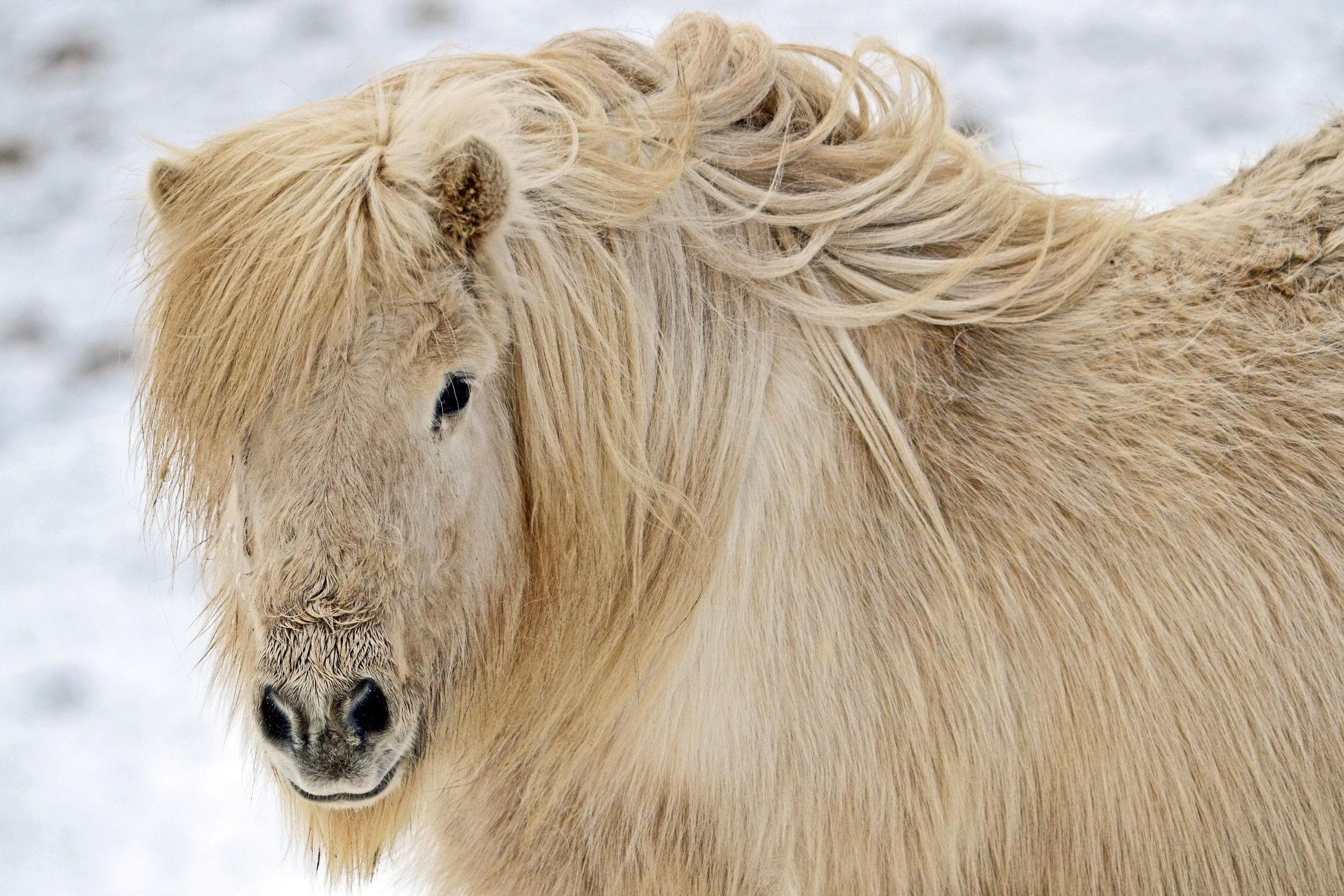 Bild mit Tiere, Tiere, Säugetiere, Natur, Schnee, Pferde, Pferde, Tier, Tier, Kinderbild, Kinderbilder, Kinderzimmer, Pferd, Pferd, Tierfotografie, Animal, Wildlife, Umwelt, reiten, Tierbild, Tierbilder, Tierfoto, Pferdeliebe, pferdebilder, pferdebild