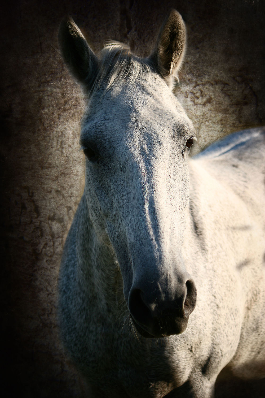 Bild mit Tiere, Tiere, Pferde, Pferde, Tier, Tier, Kinderbild, Kinderbilder, Pferd, Pferd, Portrait, reiten, reiten, Huftiere, Schimmel, Pferdeliebe, pferdebilder, pferdebild