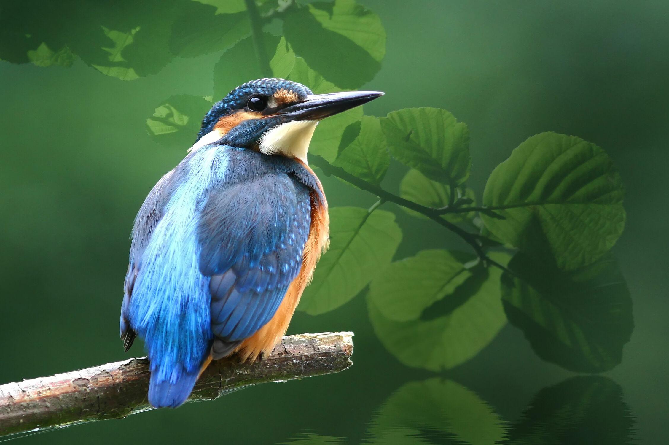 Bild mit Tiere, Natur, Vögel, Vögel, Tier, Eisvogel