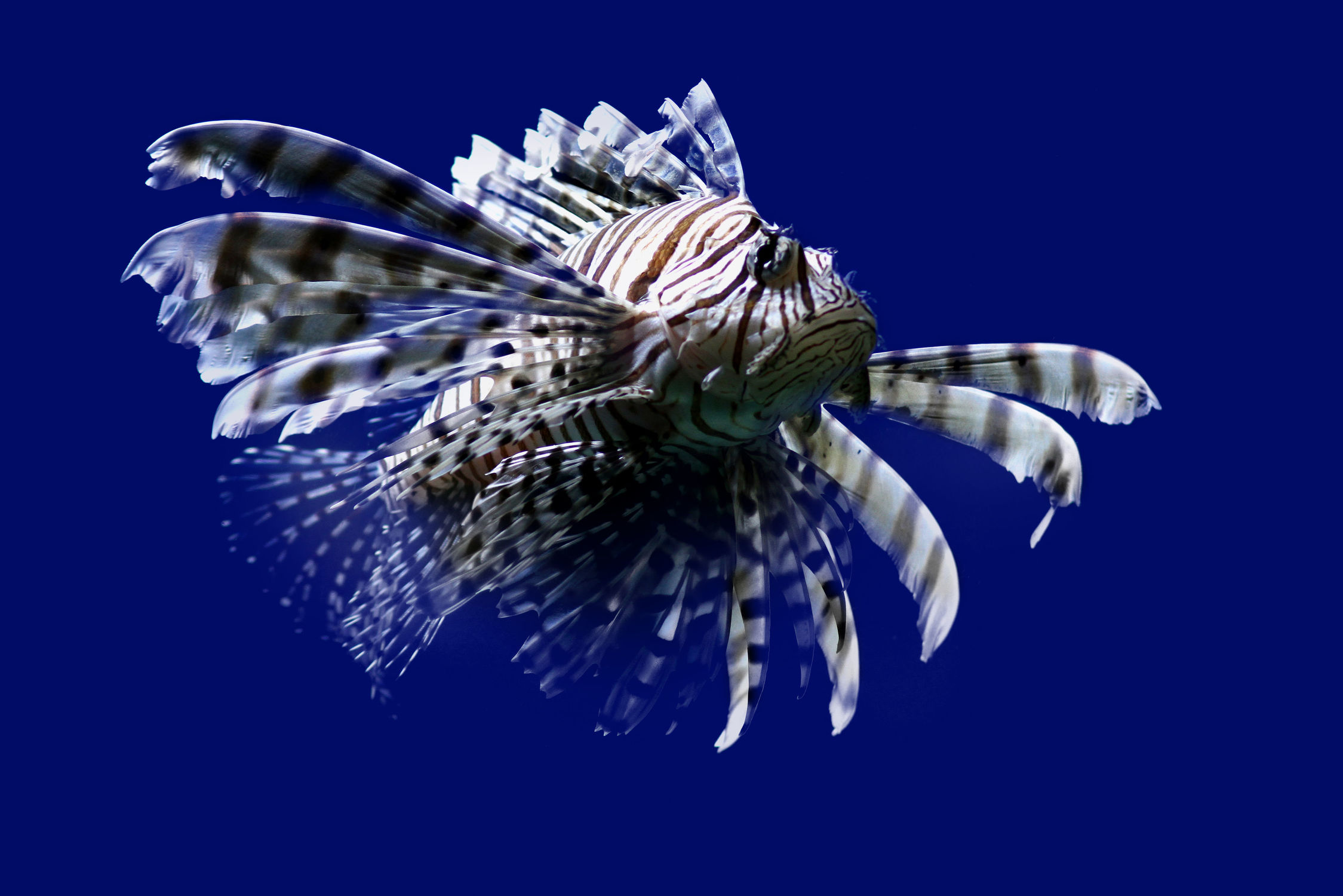 Bild mit Tiere, Tiere, Natur, Natur, Fische, Fische, Unterwasser, Unterwasser, Meere, Meere, Meer, Meer, Tier, Tier, Fisch, Fisch, Tierfotografie, Tierfotografie, Animal, Animal, Wildlife, Wildlife, Umwelt, Umwelt, ozean, ozean, Tierbild, Tierbild, Tierbilder, Tierbilder, Tierfoto, Tierfoto, Rotfeuerfisch, Rotfeuerfisch