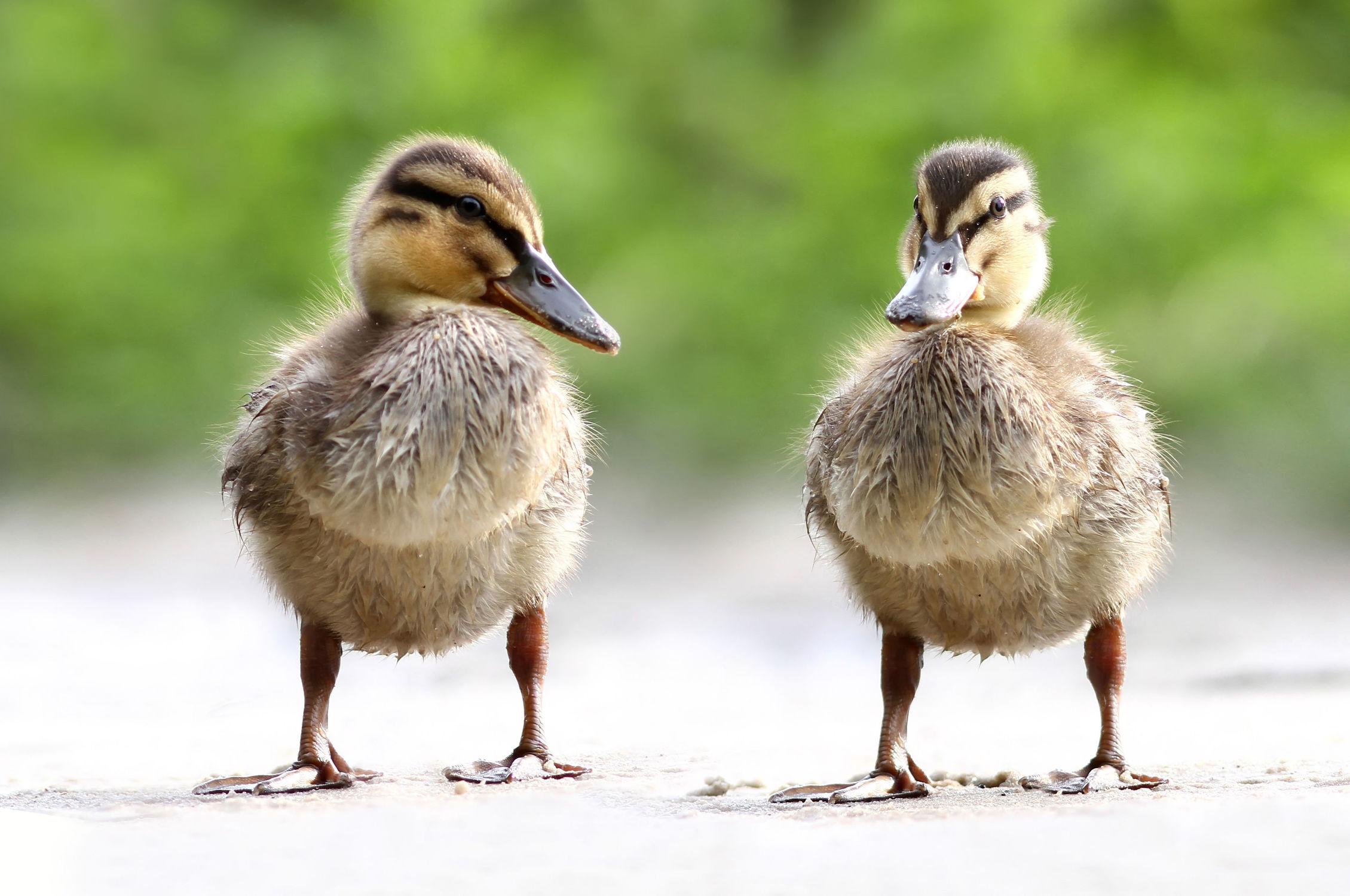 Bild mit Tiere, Natur, Vögel, Vögel, Enten, Tier, Ente, Stockente