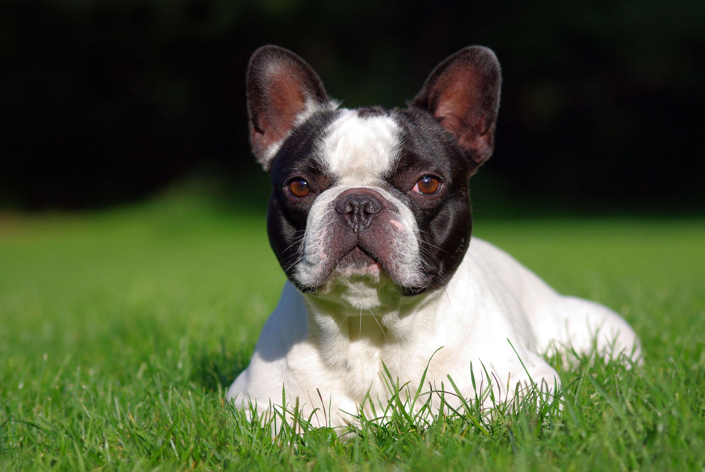 Bild mit Tiere, Natur, Hunde, Tier, Hund, Boston Terrier, Boston Terriers, Hunderasse Boston, Hunderasse Boston, Welpe, Tierfotografie, Animal, Umwelt, Welpen, Tierbild, Tierbilder, Tierfoto, französische Bulldogge, Frenchie