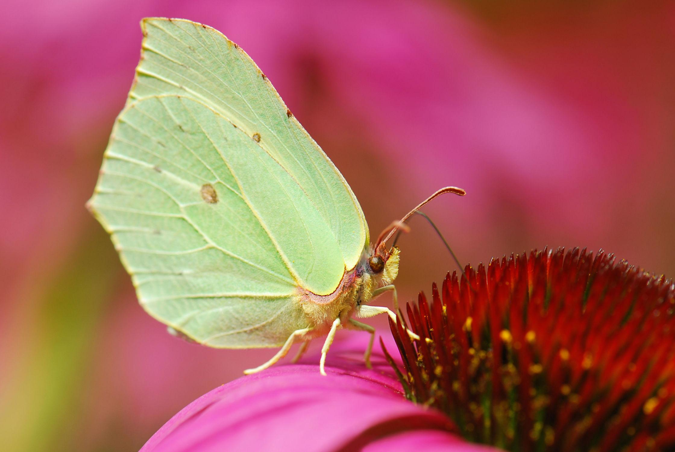 Bild mit Tiere, Tiere, Natur, Blumen, Insekten, Sommer, Schmetterlinge, Tier, Blume, Fauna, Blüten, Schmetterling, blüte, Sonnenhut, Nektar, Falter, Insekt, Zitronenfalter
