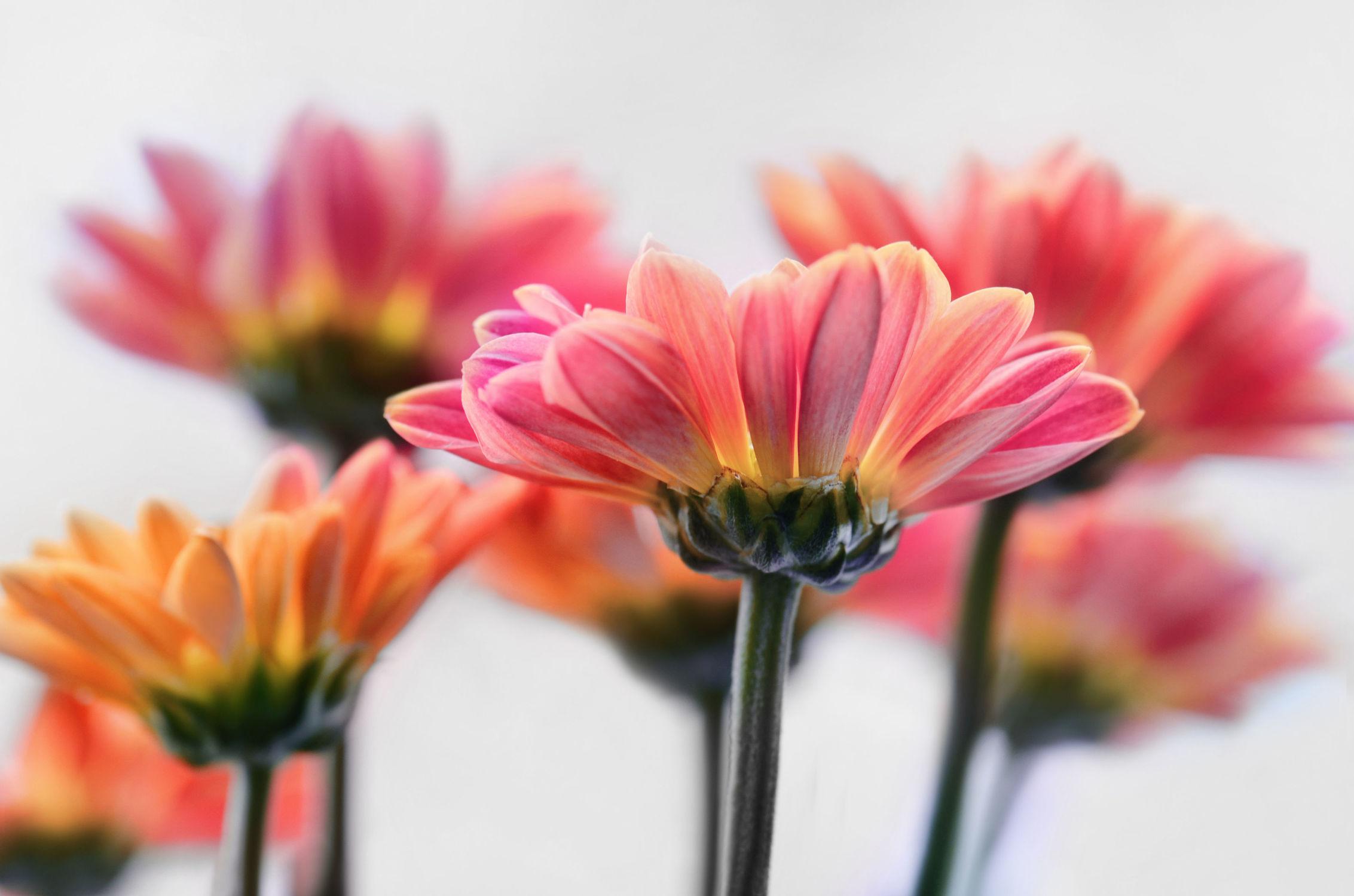 Bild mit Natur, Pflanzen, Pflanzen, Blumen, Blumen, Astern, Blätter, Blume, Pflanze, Flora, herbstblumen, garten, dekorativ, ASTER, herbstblume