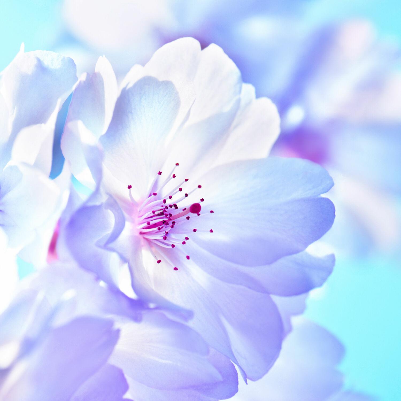 Bild mit Weiß, Lila, Frühling, Blau, Makroaufnahme, Makro, blüte, Kirschblüte, baumblüte, sakura