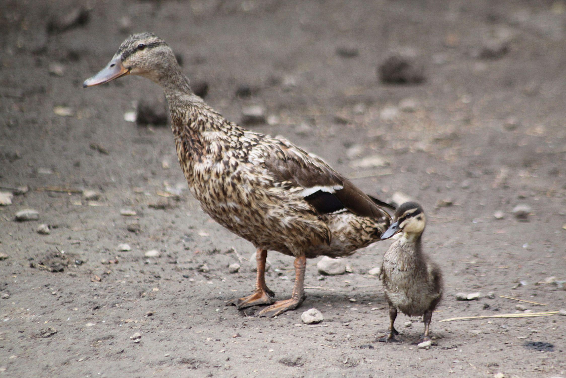 Bild mit Tiere, Natur, Natur, Vögel, Vögel, Enten, Tier, Ente