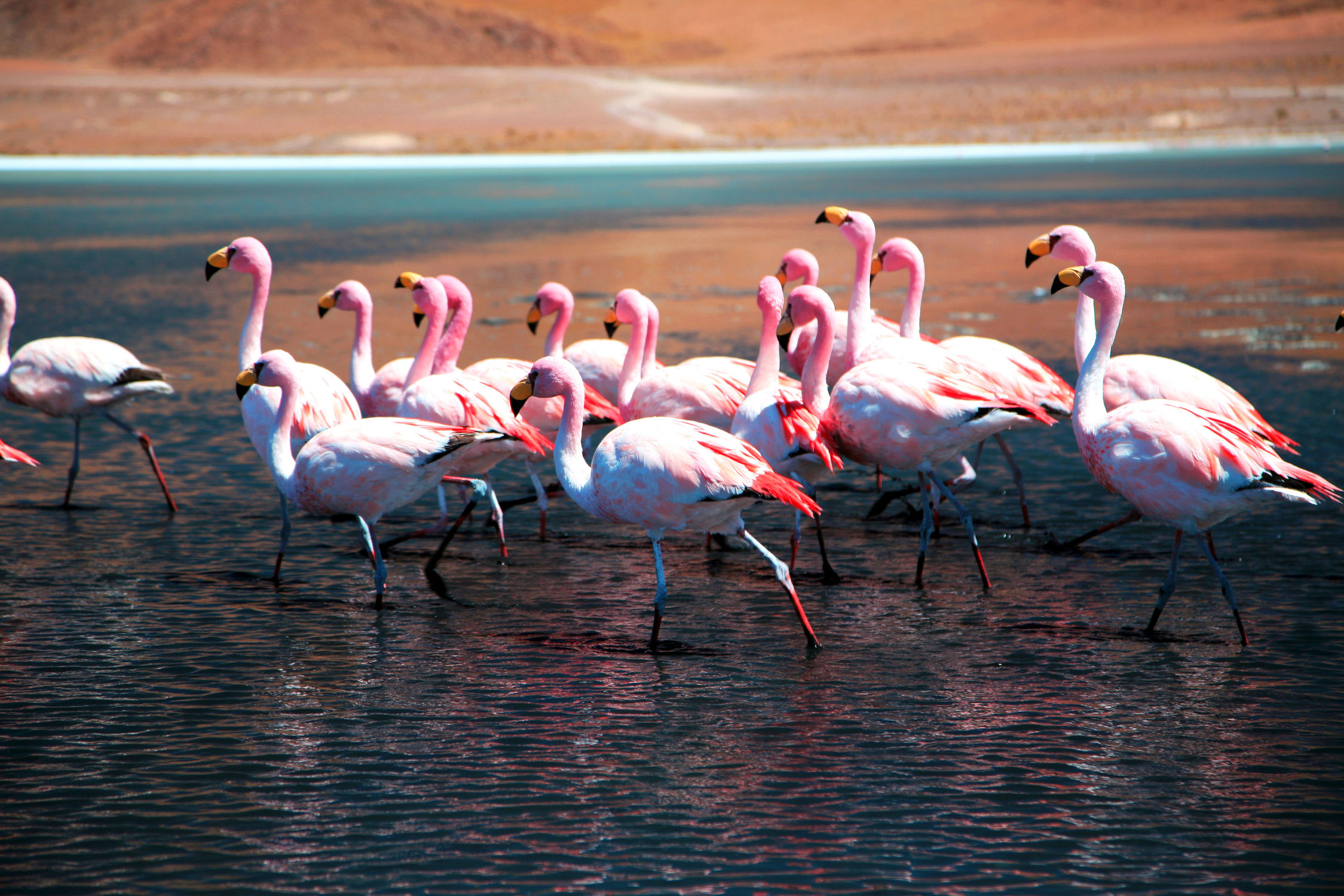 Bild mit Tiere, Natur, Tier, Tierwelt, Wildnis, Flamingo, Flamingos