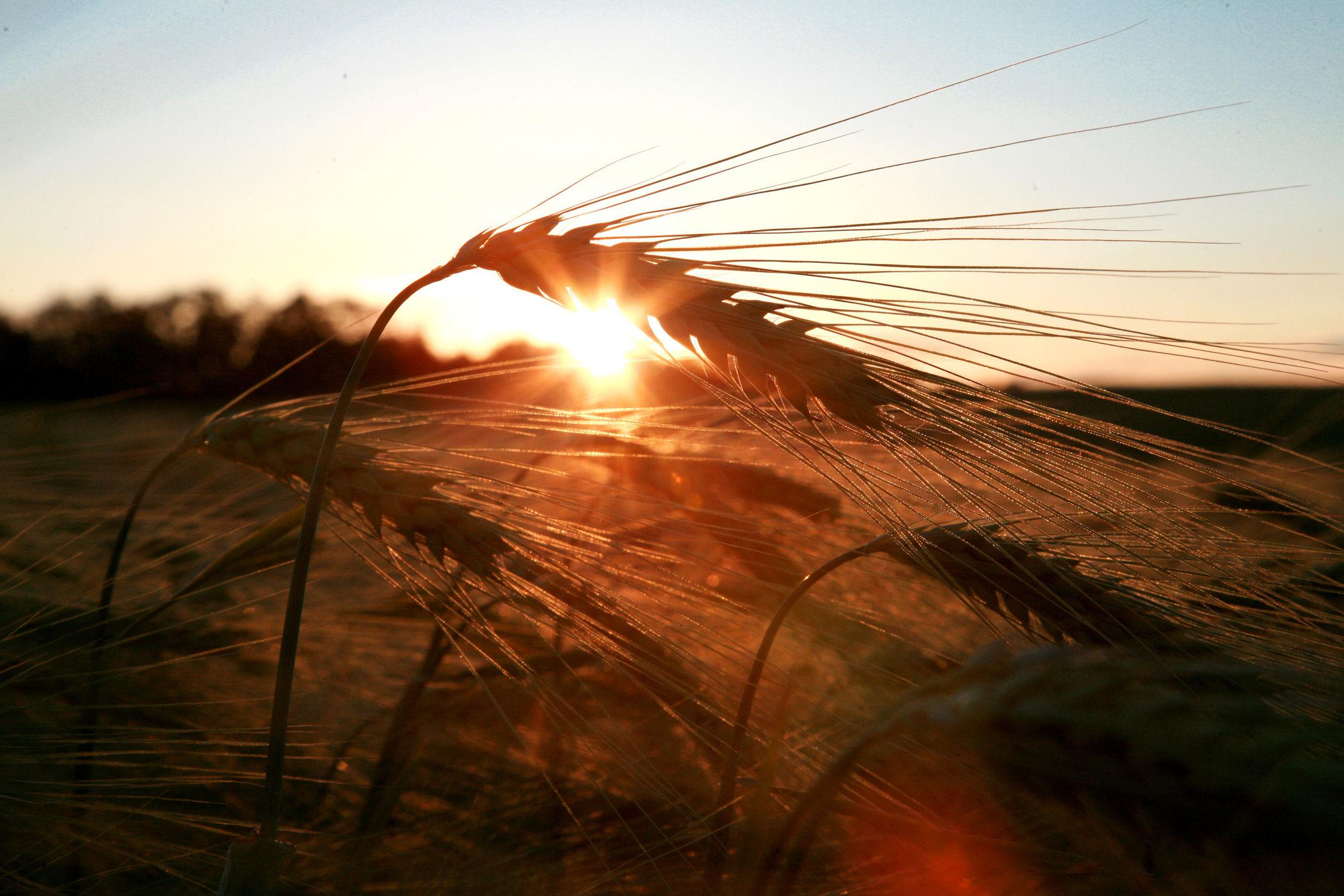 Bild mit Landschaften, Getreide, Landschaft, Feld, Felder, landwirtschaft, Weizen, Getreide Feld