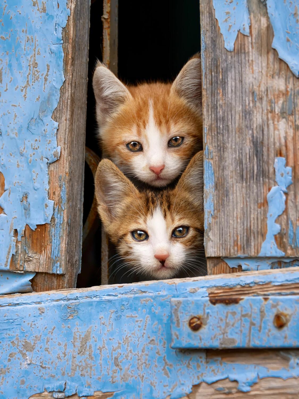Bild mit Tiere, Fenster, Katzen, Tier, Katze, Katzenbilder, Tierisches, Bunte Tierwelt, Tiere und Tierkinder, tierisch, Fotografien Tiere, Freunde, Animal, Tierwelt, lustig, witzig, niedlich, Tierliebe, Haustier, Haustier, Jung, Tierbilder, Tierfoto, süß, kitty, Katzenbaby, Tierkind, Katzenwelpe, Kätzchen, hauskatzen, neugierig, lieb, Katzenbild, Katzenliebhaber, Tierfreunde, Katzenfoto, Katzenkind, Katzenporträt, Katzenfreunde