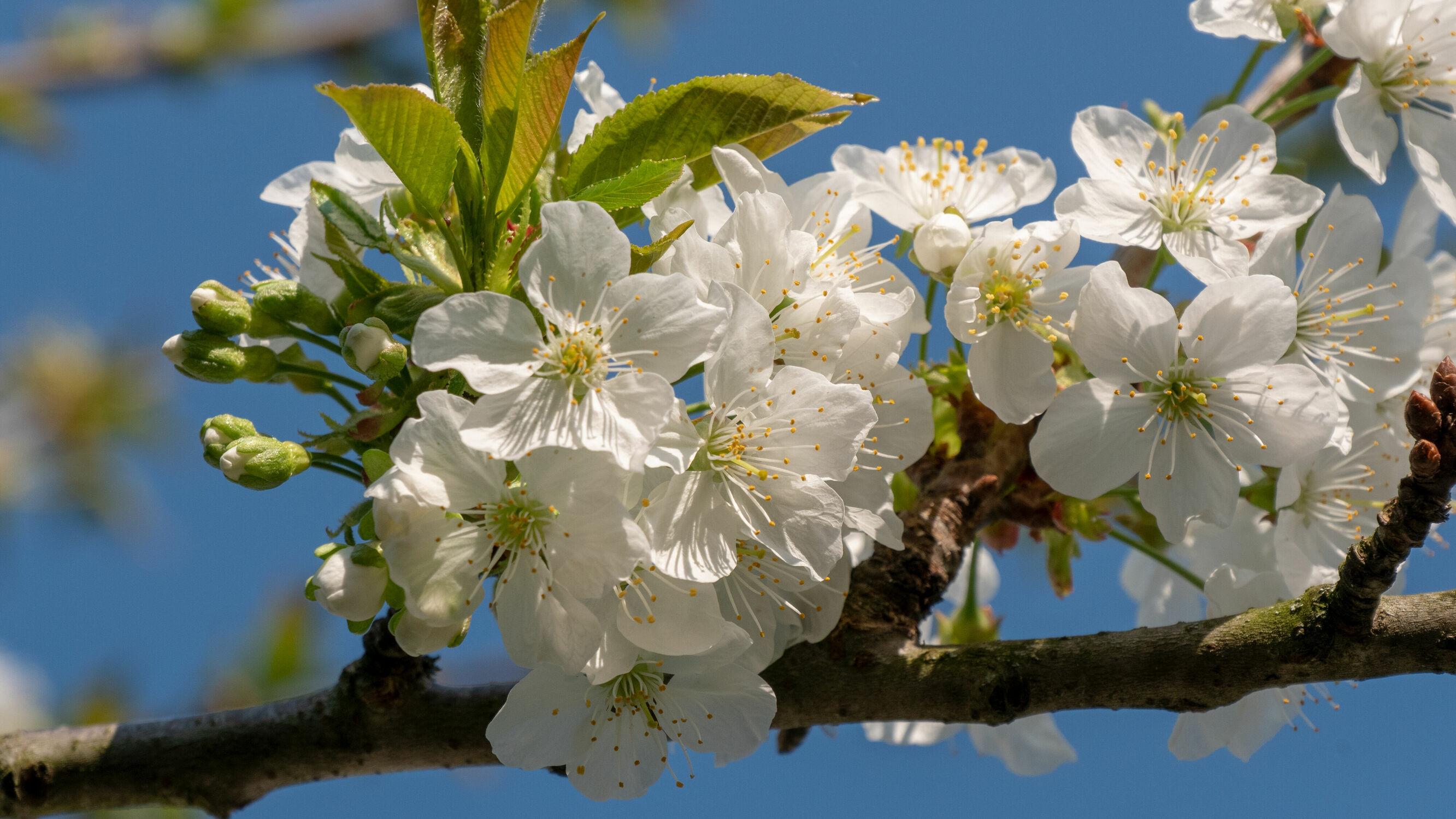 Bild mit Natur, Tageslicht, Blauer Himmel, Natur pur, macro, Zweig, apfelblüten, grüne Blätter