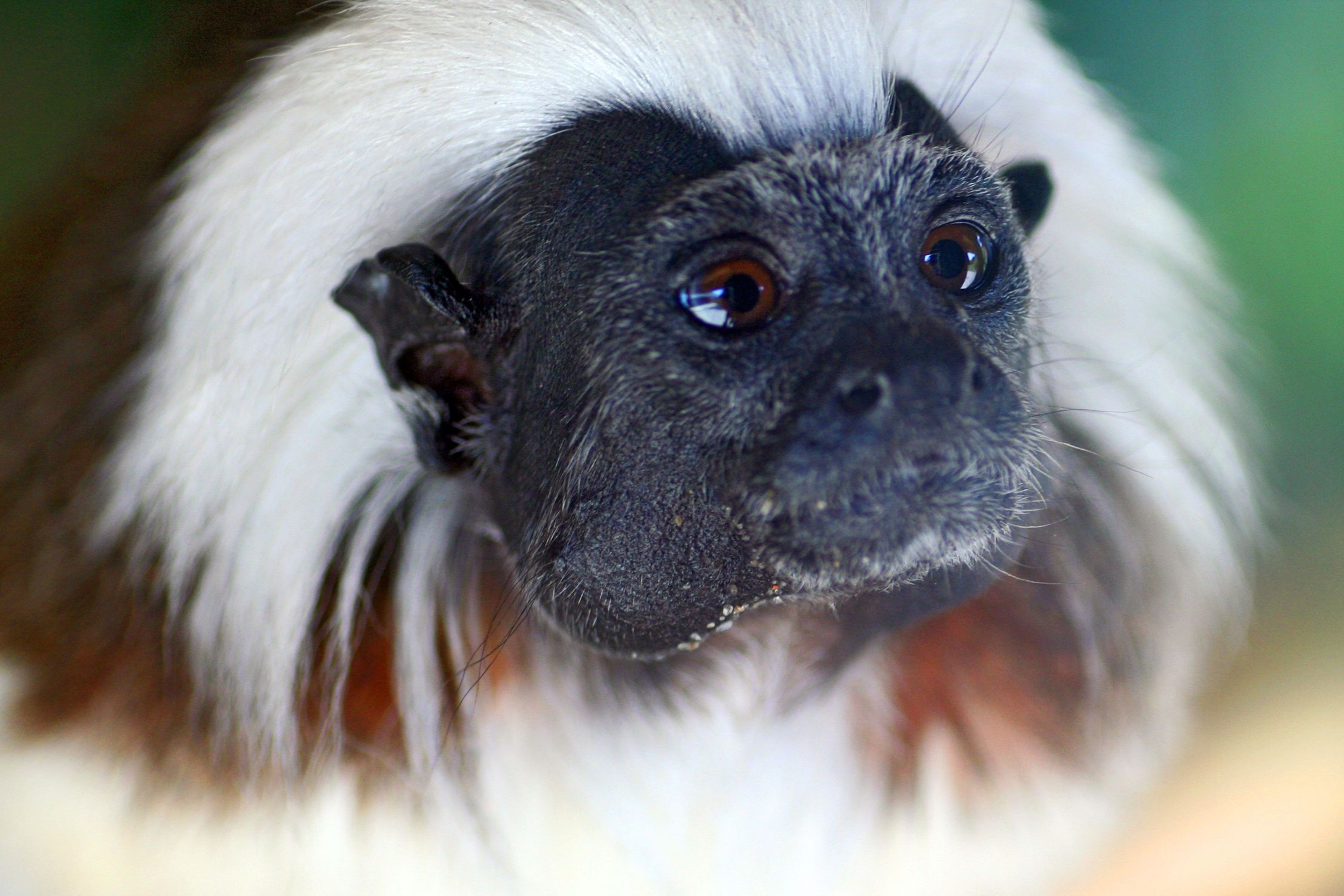 Bild mit Tiere, Säugetiere, Primaten, Menschen, Natur, Menschenaffen, Schimpansen, Makaken, Affe, Tier, Bonobo, Zwergschimpanse, Hominidae, Pan troglodytes, Pan paniscus, Affen