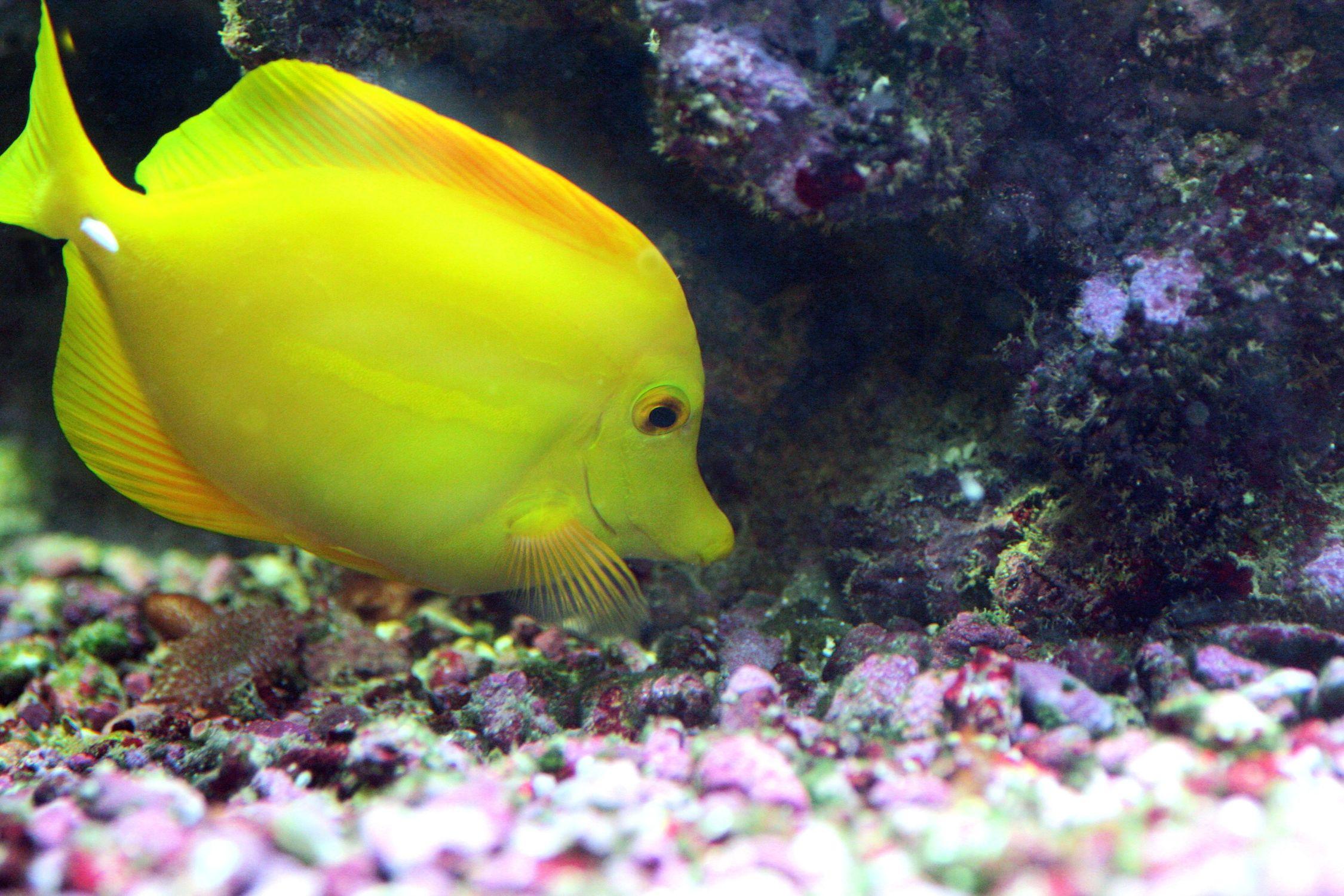Bild mit Farben, Gelb, Gegenstände, Tiere, Natur, Landschaften, Nesseltiere, Korallen, Fische, Fische, Barsche, Unterwasser, Riffs, Aquarien, Tier, Krebse und Weichtiere, Fisch