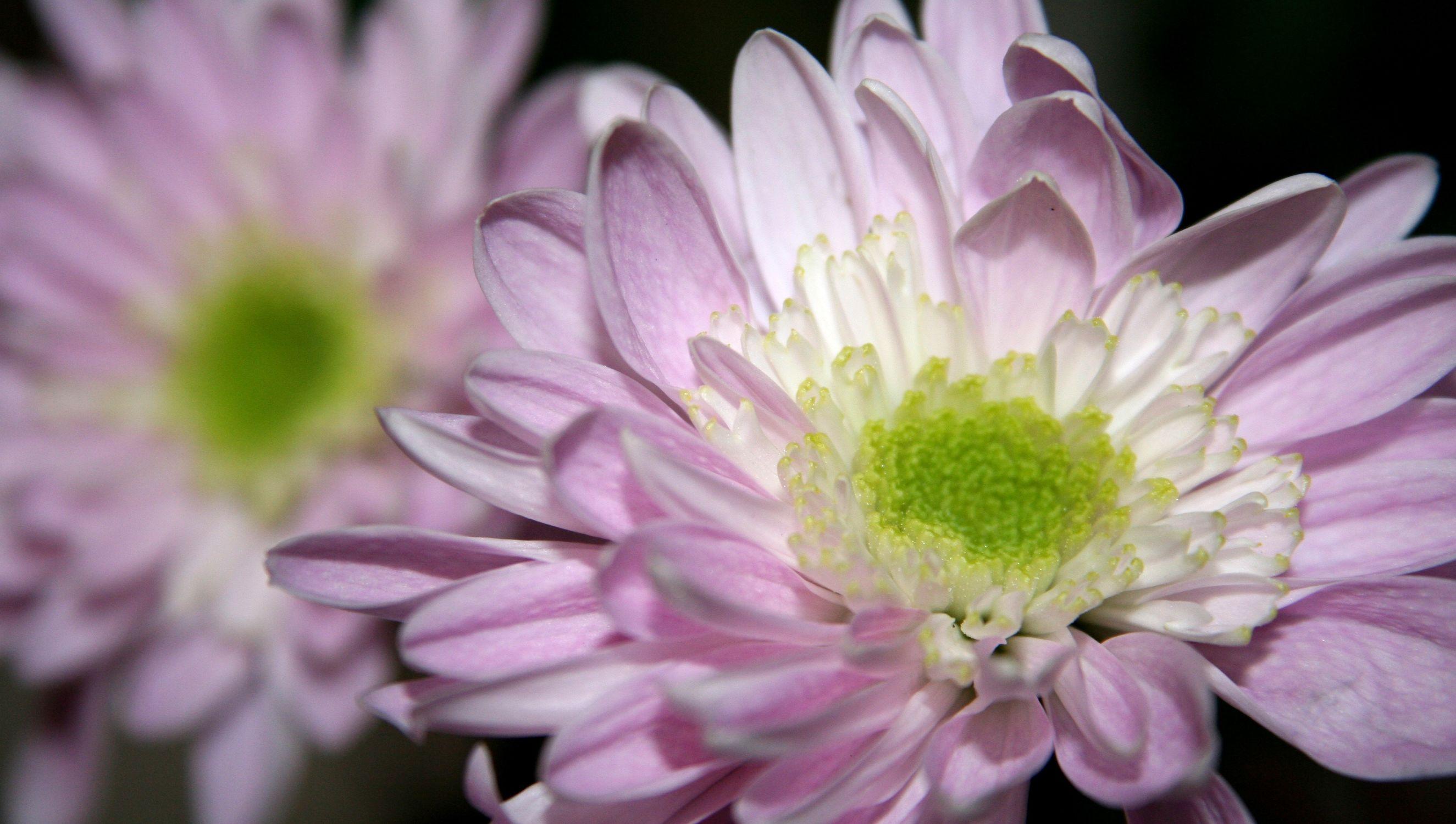 Bild mit Farben, Natur, Pflanzen, Jahreszeiten, Blumen, Rosa, Lila, Violett, Frühling, Korbblütler, Gerberas, Blume, Pflanze