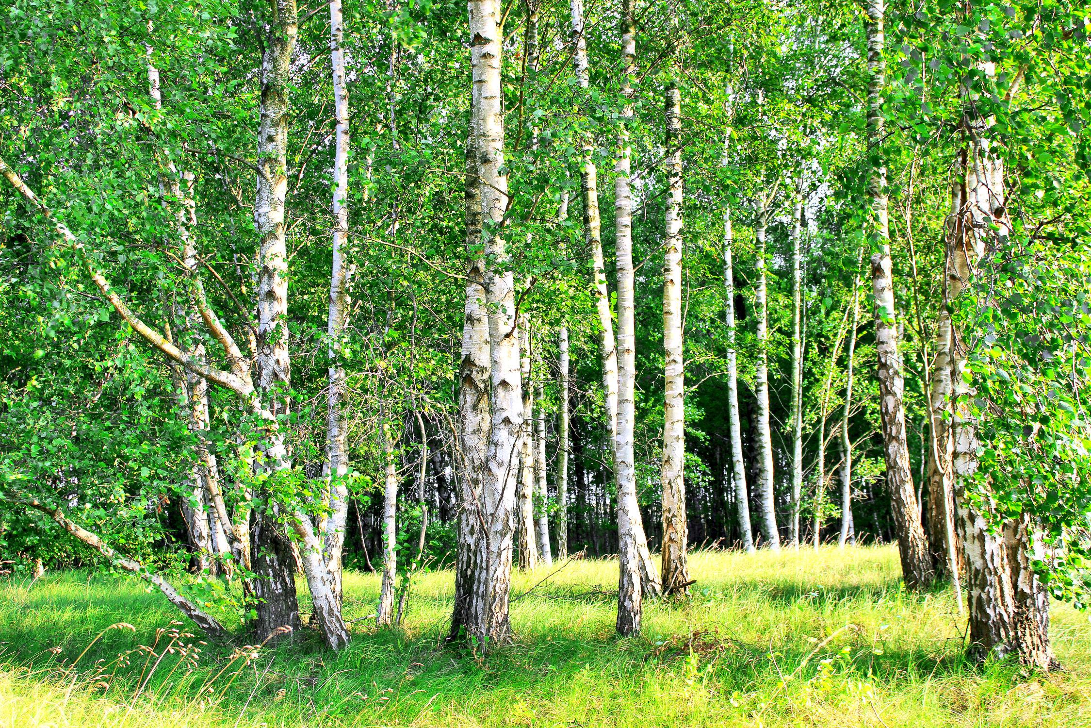 Bild mit Natur, Grün, Bäume, Wälder, Weiß, Laubbäume, Birken, Wald, Baumkrone, Baum, Birke, Betula, Baumstamm, Forest, Birkenwald, Birkenwälder, Birkenblätter, Birkengewächs, Betulaceae, Sandbirke, Weißbirke, Warzenbirke, althochdeutsch Bircha, Birkenstamm, Laubbaum, Nature, Tree, Baumstämme