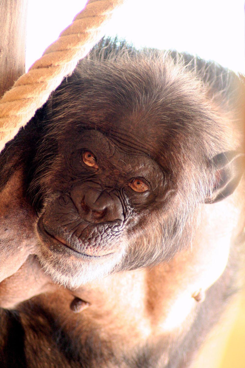 Bild mit Tiere, Säugetiere, Primaten, Menschen, Körperteile, Haut, Menschenaffen, Schimpansen, Makaken, Affe, Menschenaffe, Tier, Pan, Bonobo, Zwergschimpanse, Hominidae, Pan troglodytes, Pan paniscus, Orang Utans
