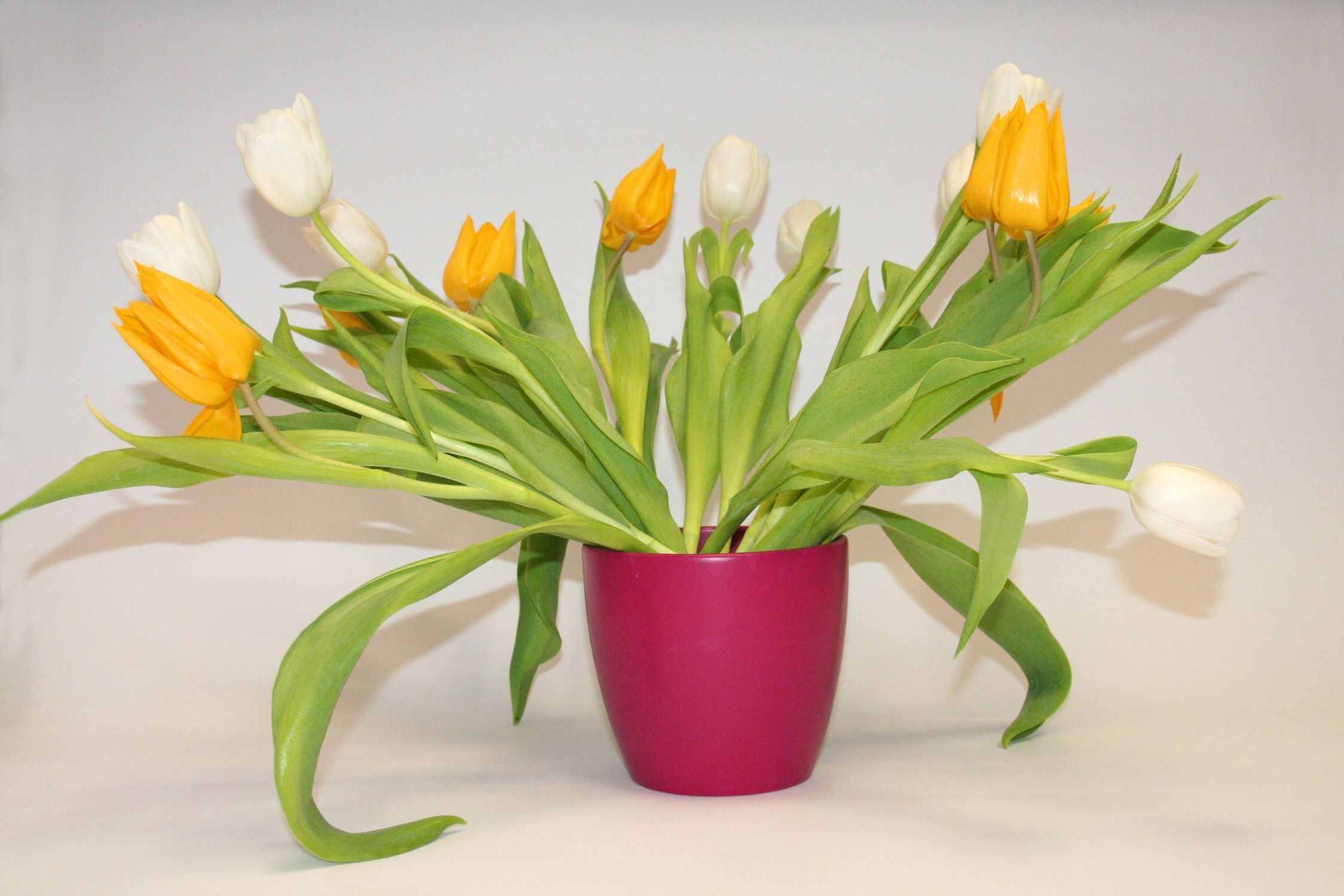 Bild mit Gegenstände, Natur, Pflanzen, Blumen, Töpfe, Sträuße, Bluemstrauß, Tulpe, Tulips, Tulpen, Tulpenstrauß, Strauß Tulpen, gelbe Tulpe, weiße Tulpen, Tulipa, Tulpen in einer rötlichen Vase vor hellem Hintergrund